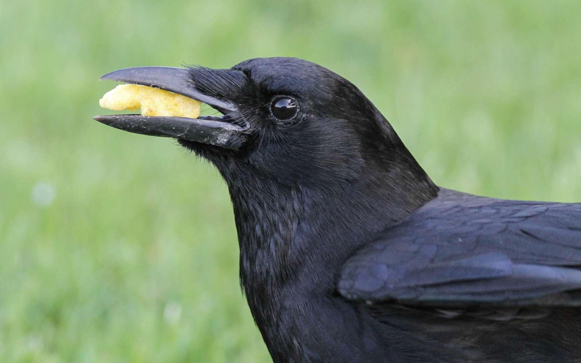 Le corbeau est un opportuniste qui se nourrit de tout ce qu'il trouve. © Fyn Kynd, Flickr