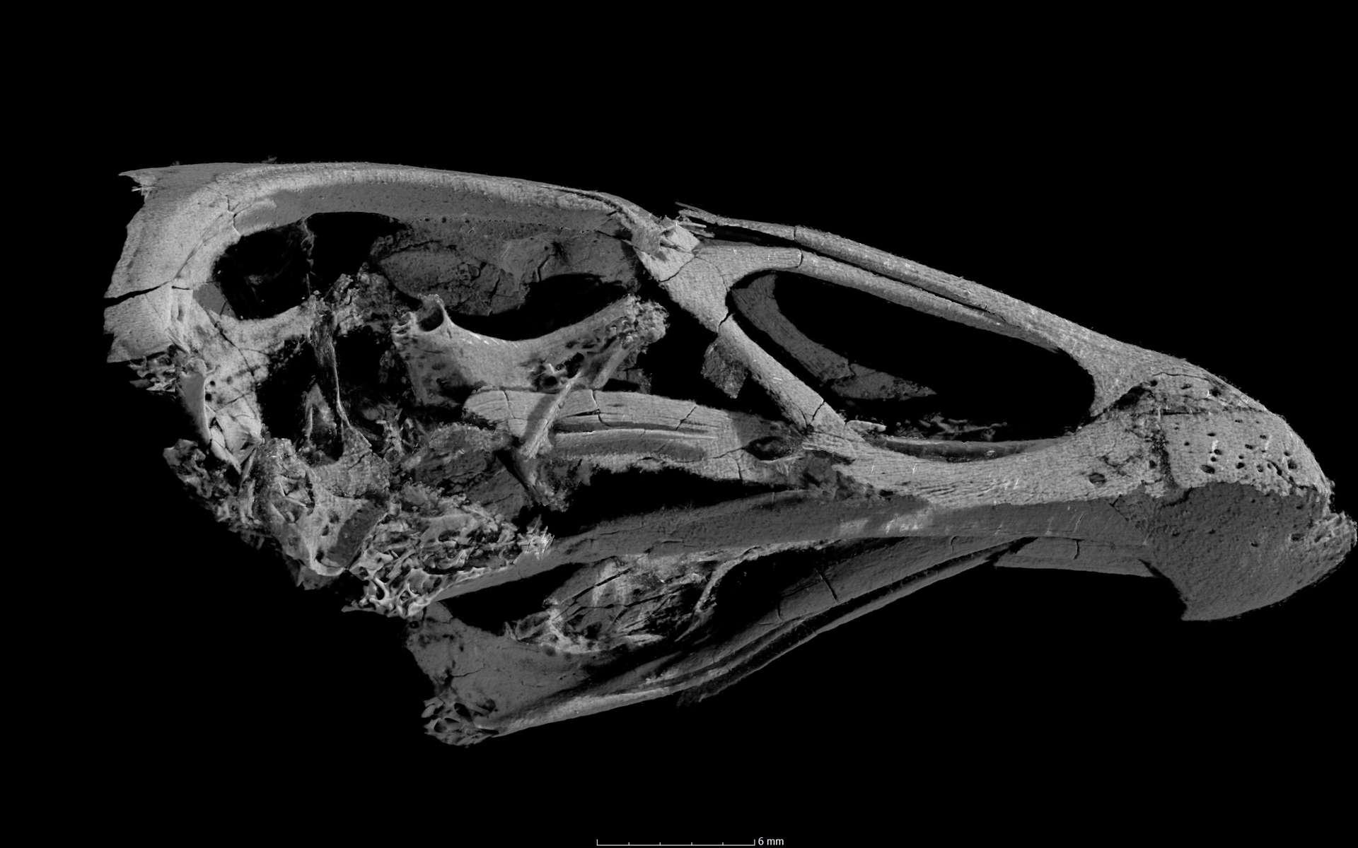 Vue au CT scanner du crâne d'Asteriornis maastrichtensis, l'ancêtre des gallinacés modernes. © Daniel Field, université de Cambridge