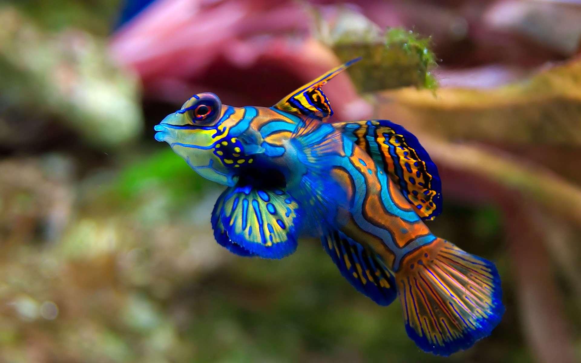 Le dragonnet mandarin est réparti dans l'ouest de l'océan Pacifique. Long de quelque 6 cm, il a une grande particularité pour un poisson : il est dépourvu d'écailles. Les couleurs bleue et orange de cette espèce proviennent directement de sa peau. Généralement, il barbote à moins de 18 mètres de profondeur mais réside surtout au fond de l'eau. En conséquence, il réside préférentiellement dans les lagunes et les récifs côtiers où il se nourrit de planctons. Pour compenser son absence d'écailles, ce poisson produit un épais mucus qui le protège des parasites et repousse les prédateurs. © Luc Viatour, Wikimedia Commons, CC by-sa 3.0