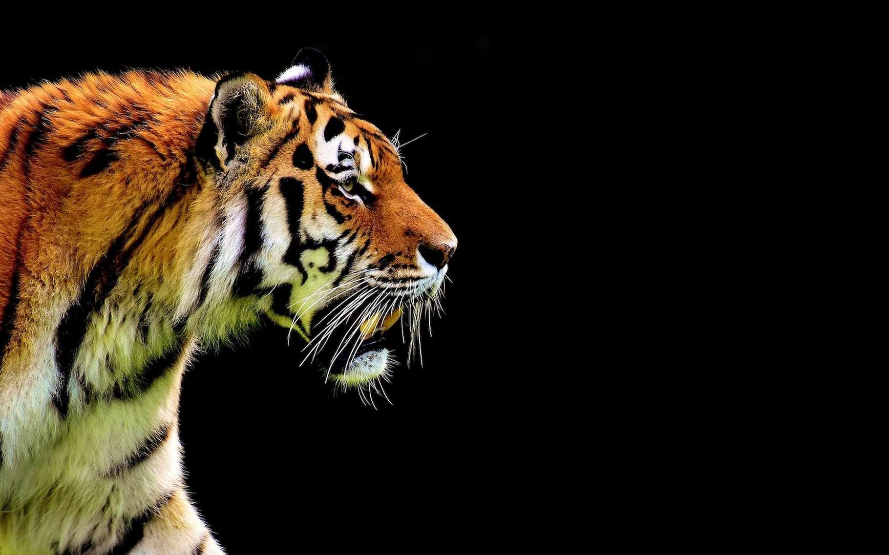 Les noms des plantes et des animaux sont en latin parce que cela permet aux scientifiques du monde entier de savoir immédiatement de quelle espèce il est question. Ici, un spécimen de Panthera tigris. © Alexas_Fotos, Pixabay License