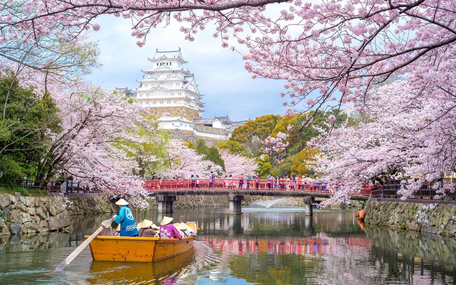C'est exceptionnel : des cerisiers ont fleuri au Japon en ce début d'automne. La floraison se produit normalement au printemps. © Richie Chan/ISotck.com