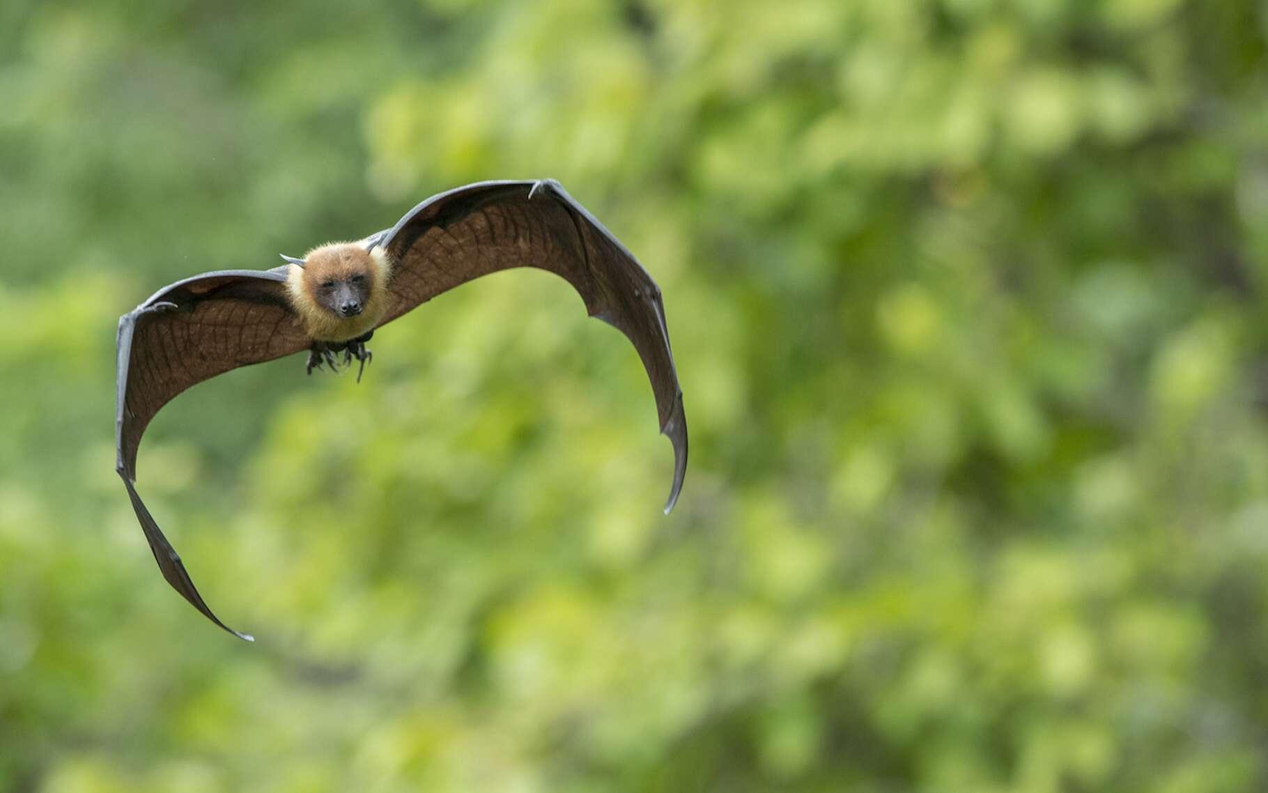 Les chauves-souris utilisent l'écholocation pour se repérer. © chamnan phanthong, Fotolia