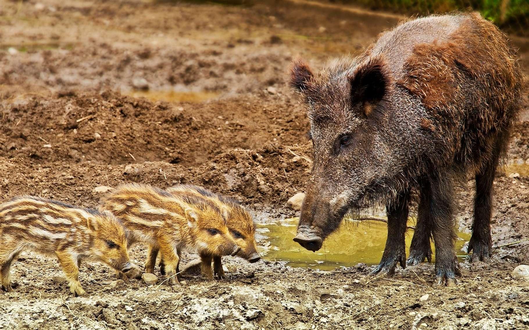Les sangliers sont des animaux sauvages qu'il est interdit de posséder chez soi, sauf à posséder un certificat de capacité et à disposer d'une autorisation préfectorale d'ouverture d'établissement. © iisjah, Pixabay License