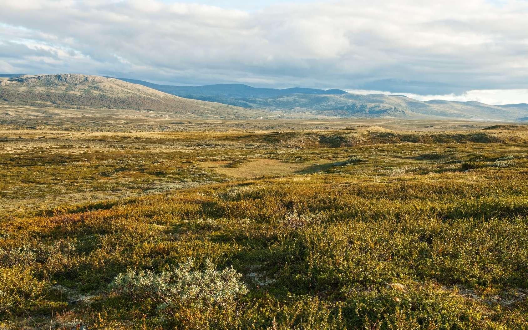 La végétation de la toundra est basse : les arbres sont absents, sauf sous forme naine. © YuliaB, Fotolia