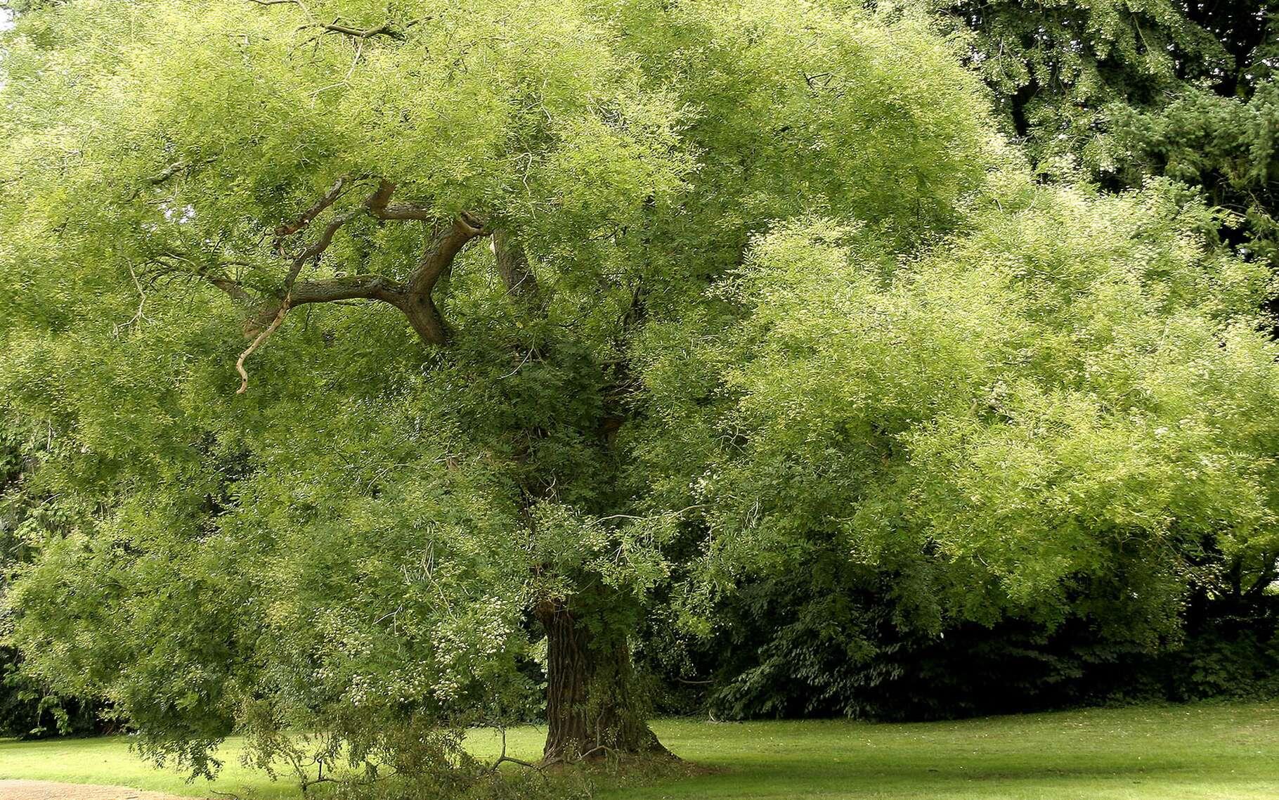 Le sophora est aussi appelé arbre des pagodes. © Amehare-Flickr CC by nc nd 20