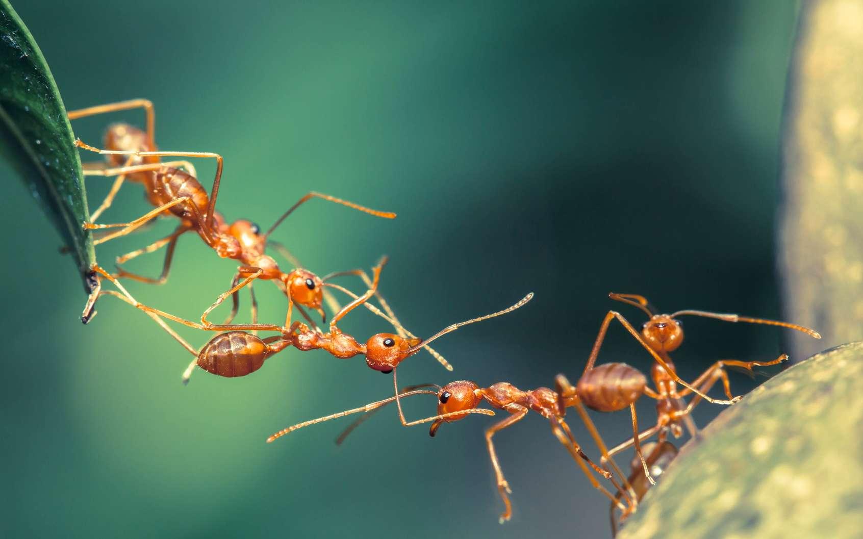 Des fourmis (ici d'une espèce différente de celle de l'article) peuvent former un pont en s'attachant les unes aux autres pour franchir un espace vide, voire un écoulement d'eau. © lirtlon, Fotolia