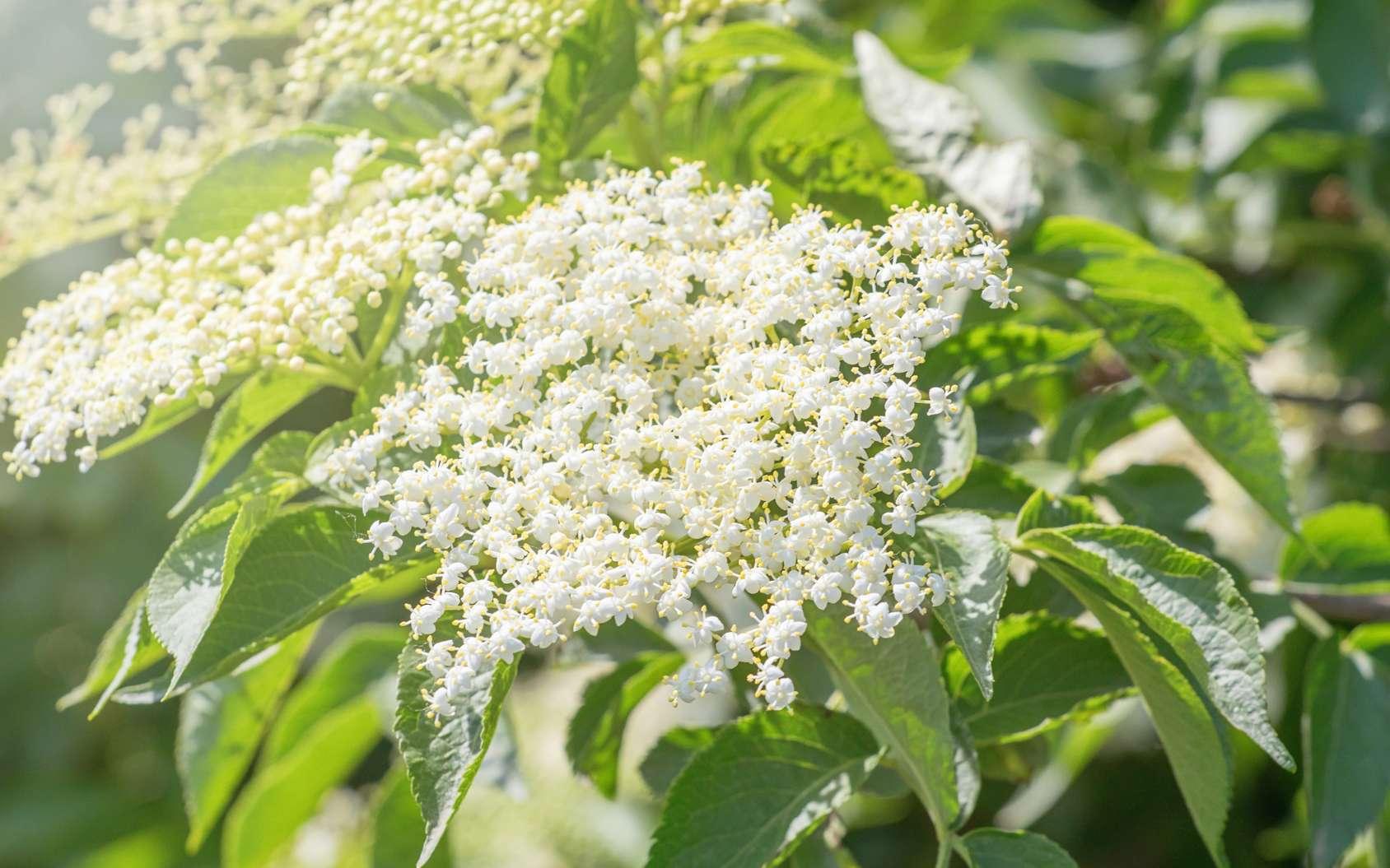 Les fleurs blanches du sureau vont donner des baies noires. © allexxandarx, Fotolia