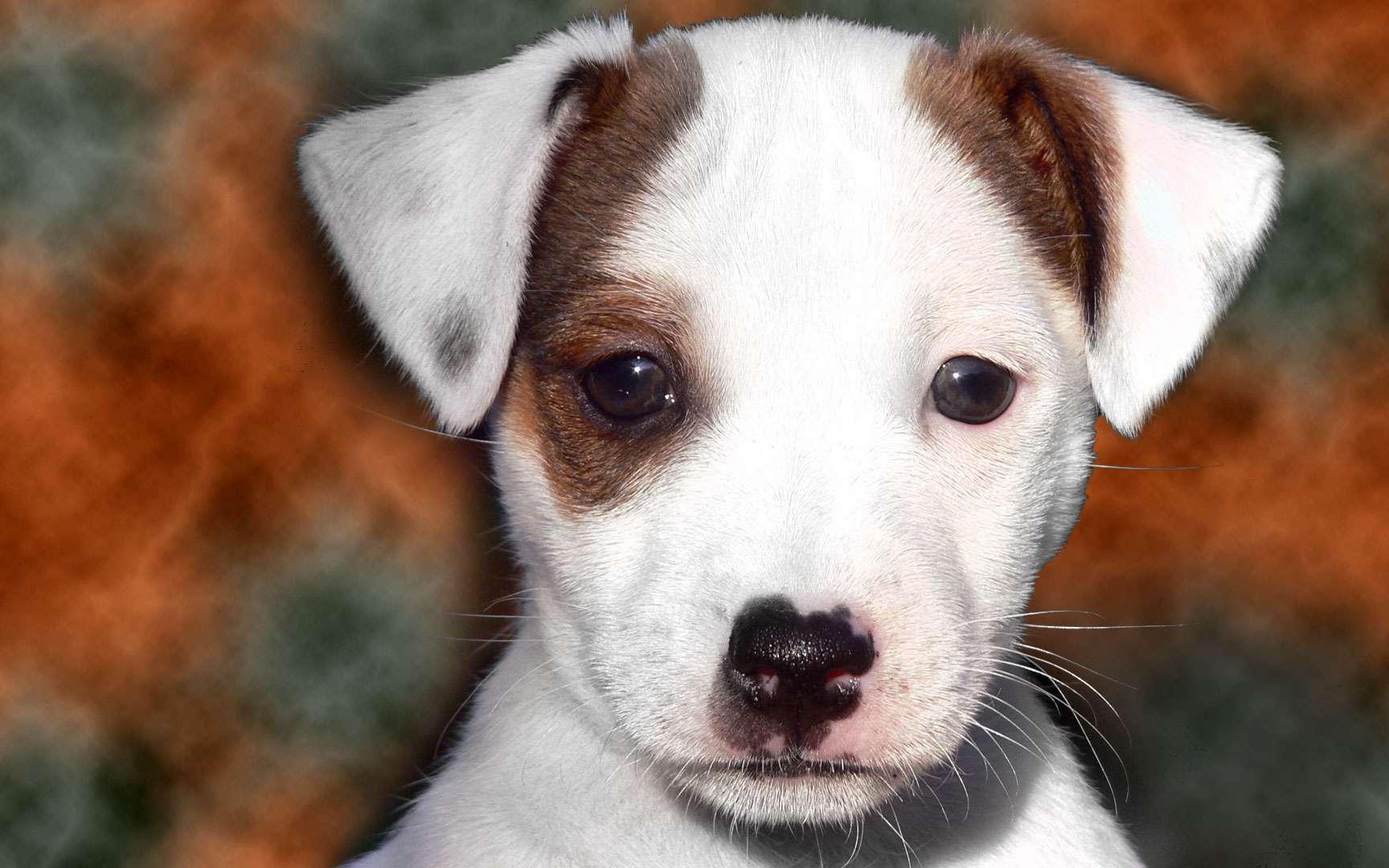 Le Jack Russell terrier, un chasseur de renards. Destiné à la chasse, le Jack Russell terrier, ou Jack Russell, possède un tempérament vif et une grande rapidité. Son nom lui vient du pasteur John Russell, surnommé Jack, qui élevait des chiens destinés à la chasse au renard. C'est aussi un bon animal de compagnie, en particulier pour les cavaliers qui apprécient son caractère enjoué. Poids : 8 à 12 kgTaille : 25 à 40 cm au garrot © Steve-65, Wikimedia Commons, cc by sa 3.0
