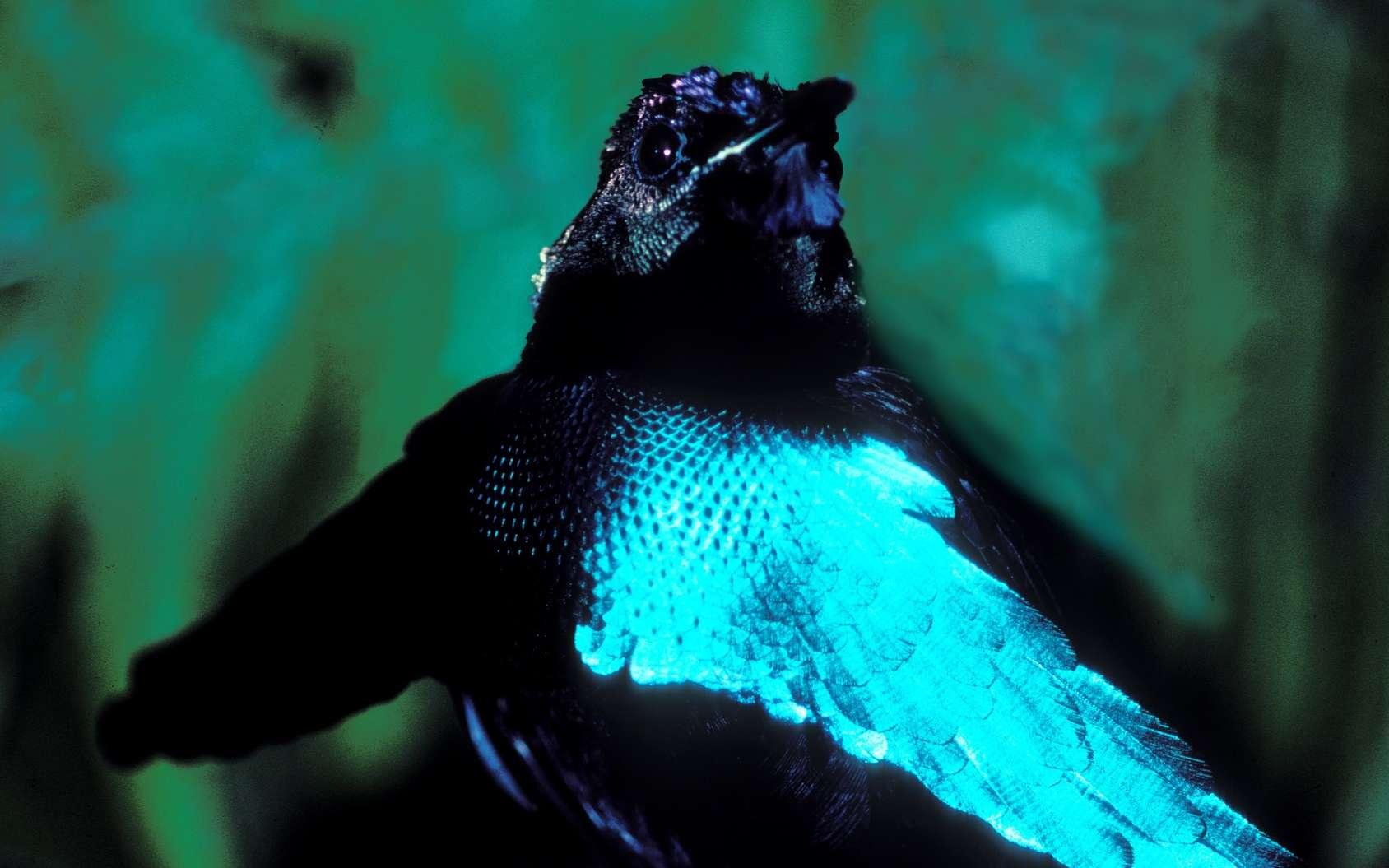 Les oiseaux de paradis, comme ce Lophorina superba ou paradisier superbe, ont des plumes super-noires, qui absorbent la lumière à plus de 99 %. © Pixaterra, Fotolia