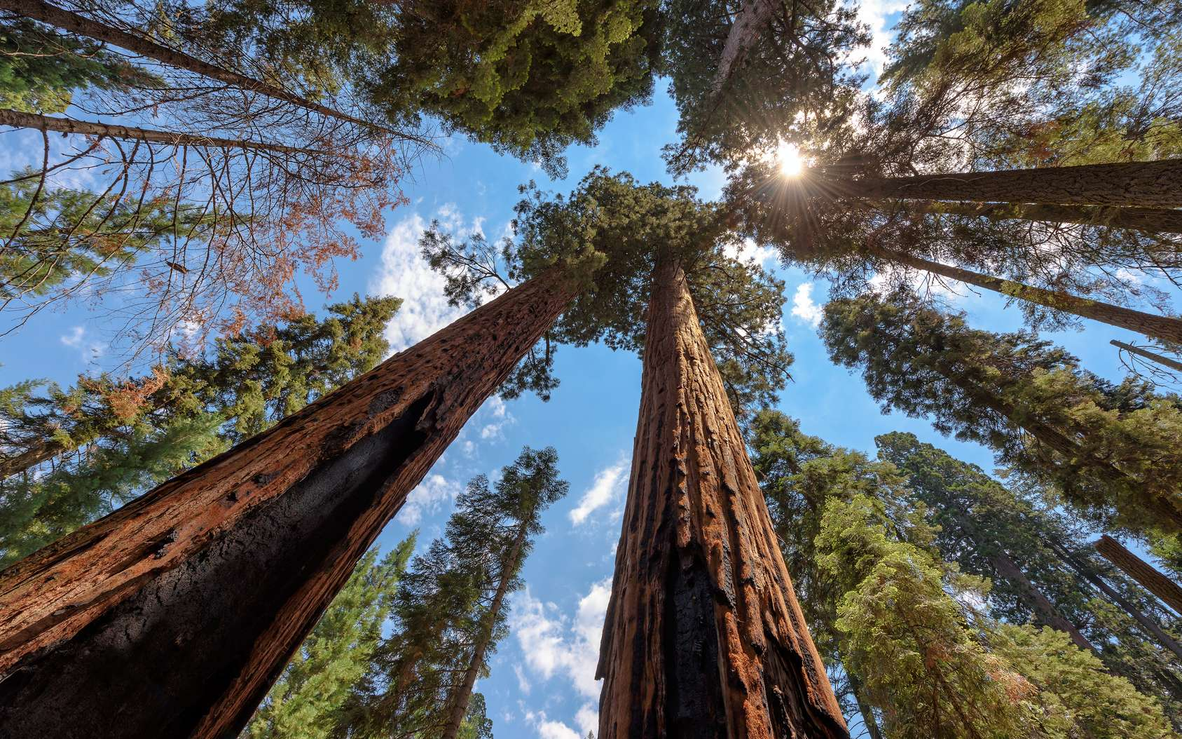 Séquoias géants (Sequoia sempervirens) dans le Sequoia National Park. © lucky-photo, fotolia