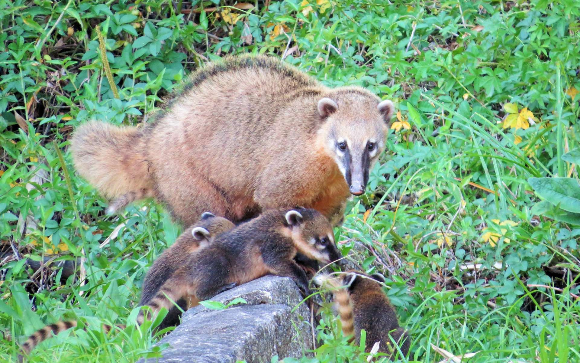 Le coati roux (Nasua nasua), un mammifère particulière agressif, a déjà été aperçu en France. © andretostes, iNaturalist