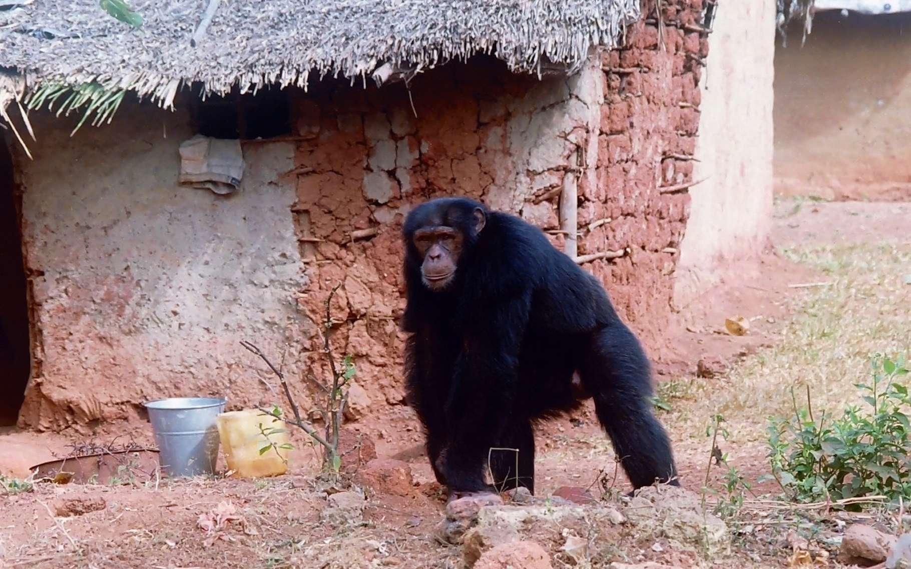 Dans certaines régions de la planète, les Hommes et les grands singes vivent ensemble. © Nicolas Granier, Biotope et Les chimpanzés de Bossou et Nimba, Green Corridor Charity