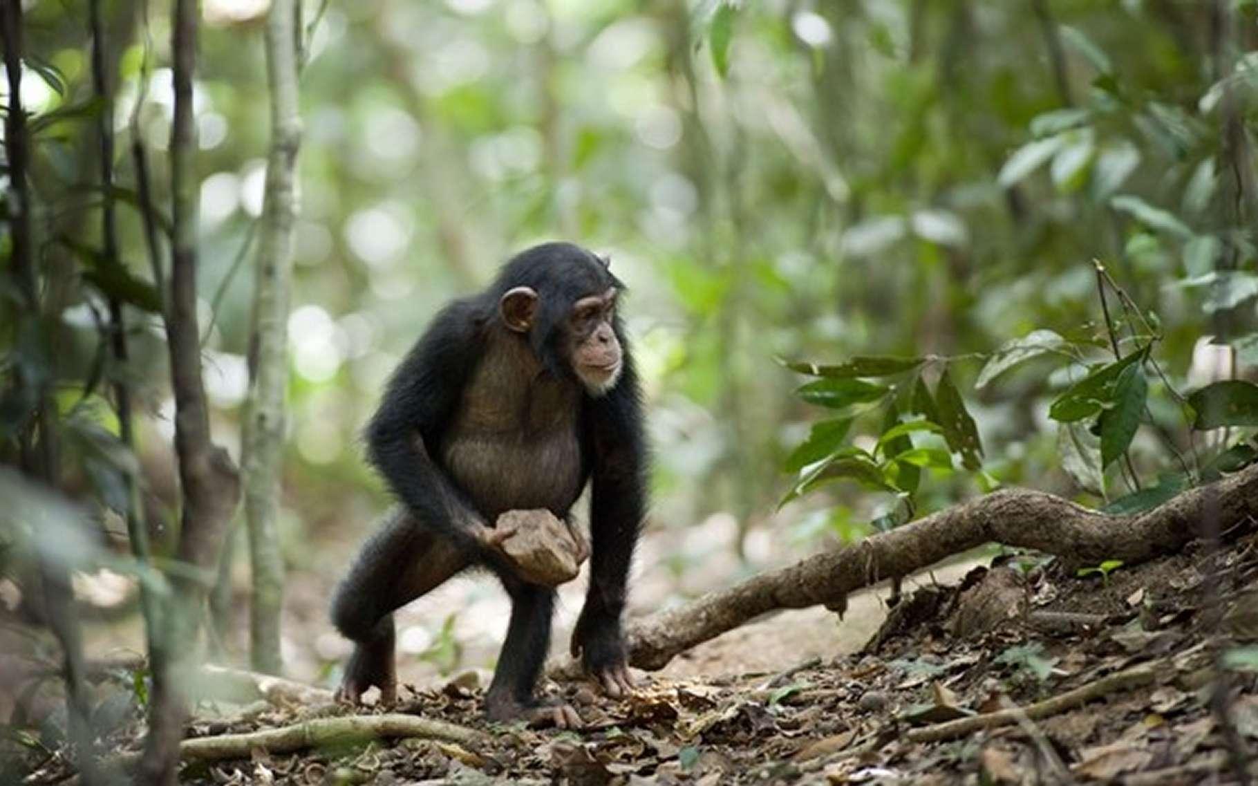 Un chimpanzé porte une pierre. Il sait s'en servir pour casser des noix. Mais pourquoi la jeter contre un arbre en poussant des cris ? © Laura Kehoe (université Humboldt, Berlin)