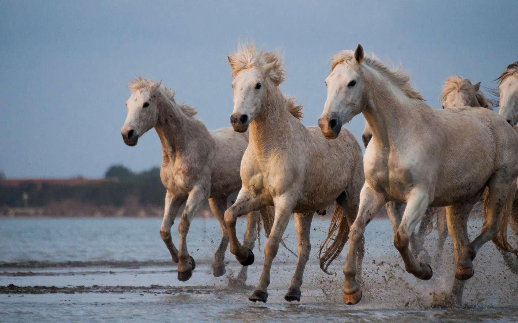 Les chevaux de Camargue sont aussi bien appréciés pour les randonnées équestres que pour les compétitions sportives. © erika, fotolia