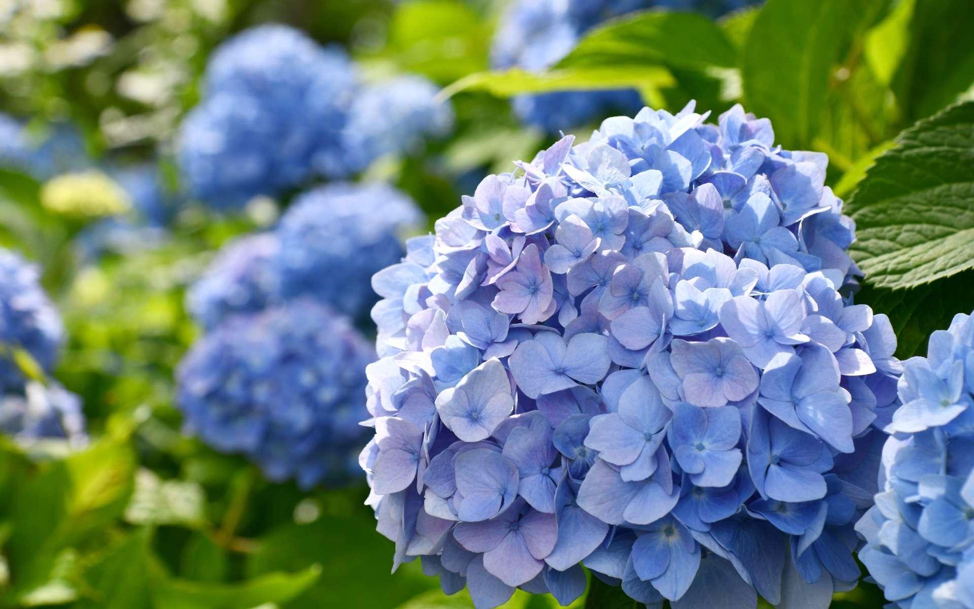 Infloresence bleue d'un hydrangea macrophylla. © Pichchapatr, Adobe Stock
