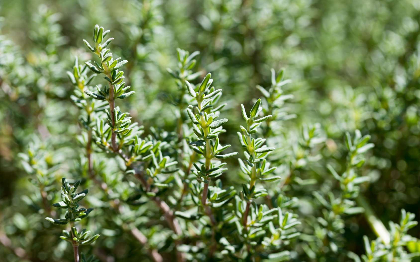 Definition |  Common thyme |  Futura Planet