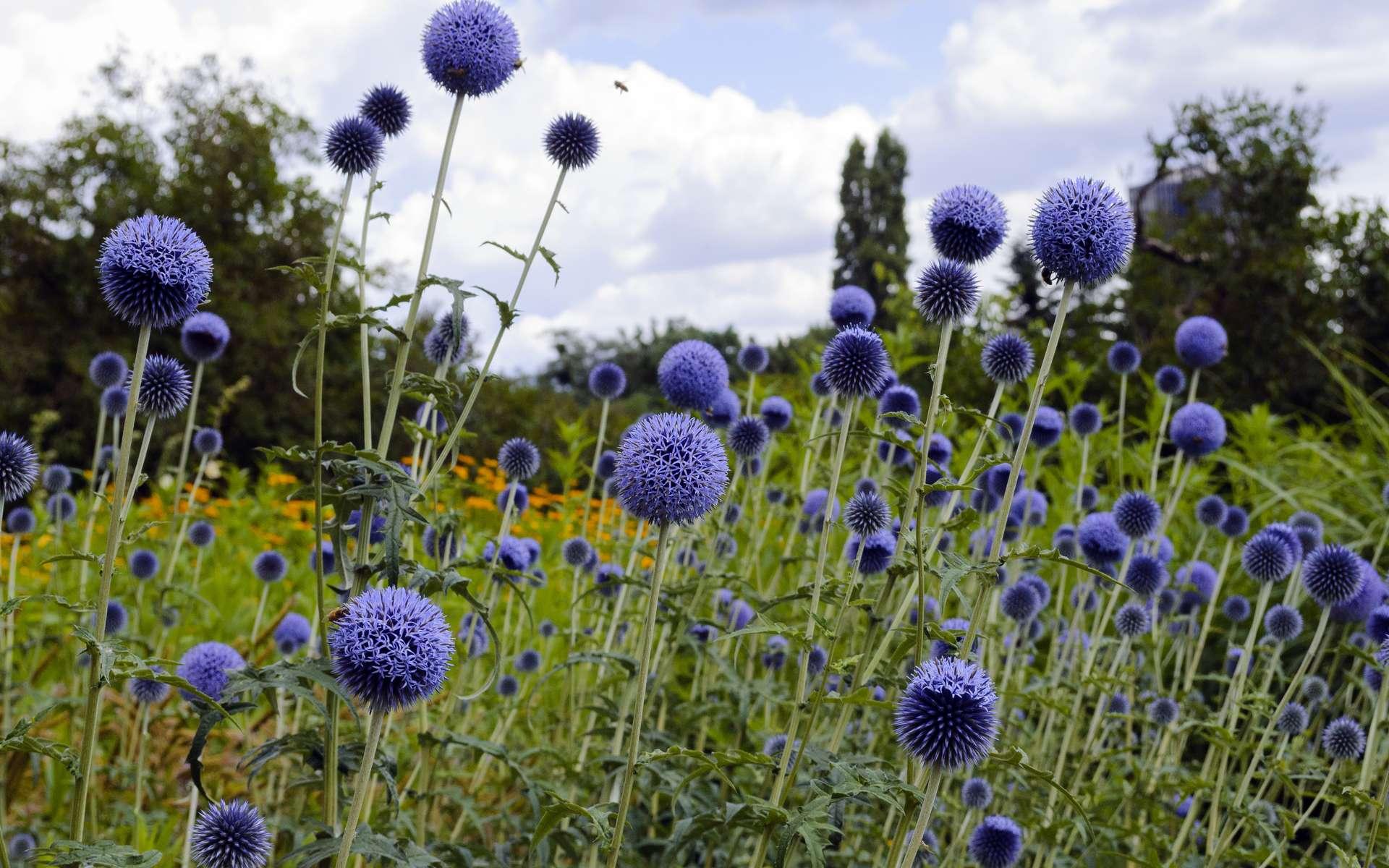 L'Échinops est une plante décorative, plaisante à croiser dans les prairies mais que l'on peut aussi cultiver chez soi. © Gpad, Adobe Stock