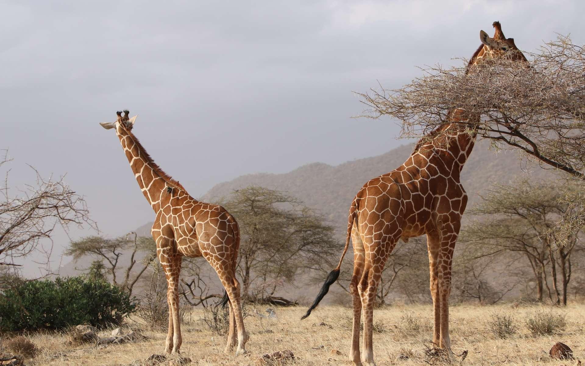 La savane et les girafes en Afrique. © Pxhere, domaine public