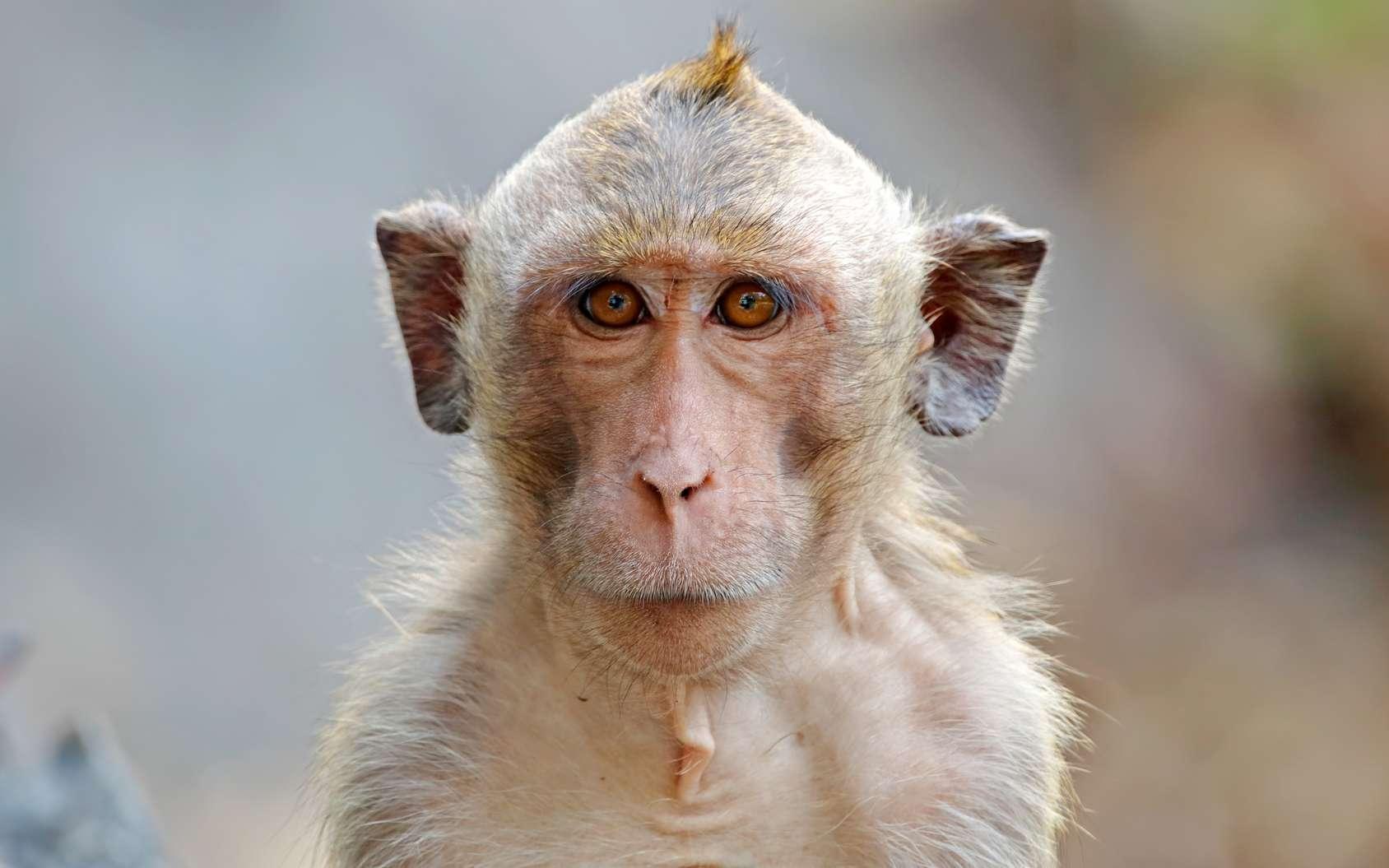 Photo d'un macaque crabier. © assoonasrp, fotolia