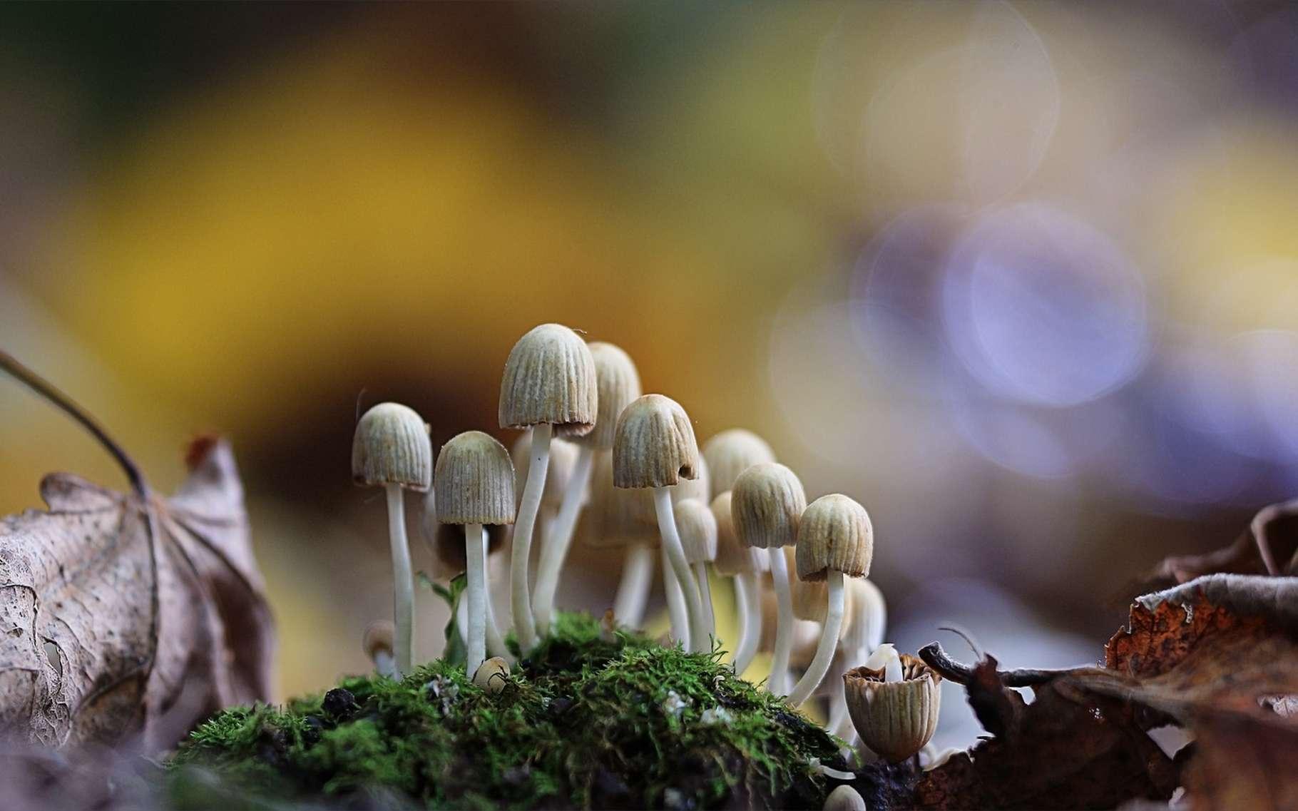 Les champignons hallucinogènes sont interdits en France, mais leurs principes actifs intéressent de plus en plus la recherche médicale. © Kichigin, Shutterstock