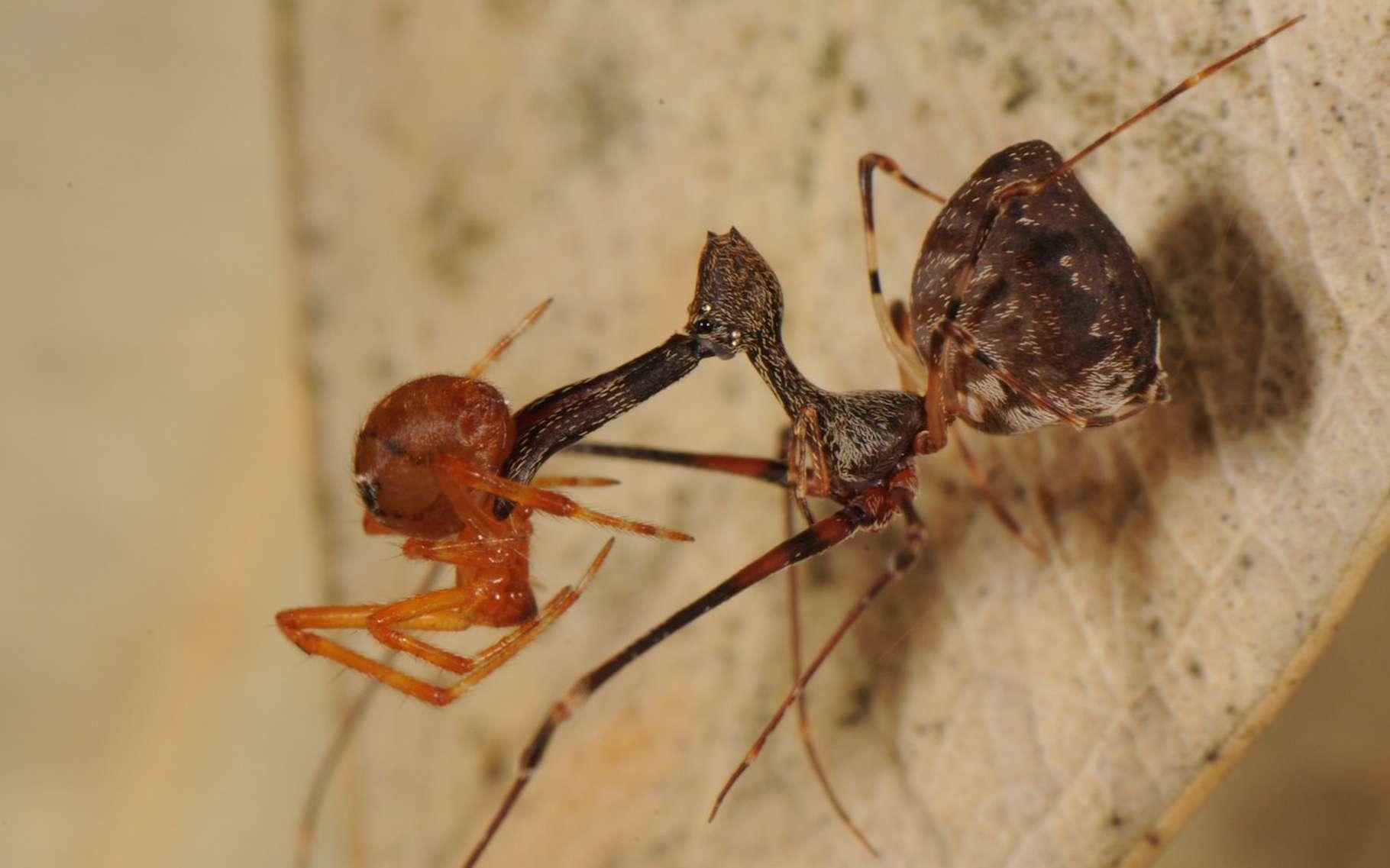 L'araignée pélican — ici à droite et en pleine chasse — est une araignée emblématique de Madagascar. On en trouve également en Afrique du Sud et en Australie. Mais celle de Madagascar présente un «cou» plus distinctif que ses cousines. © Nicolaj Scharff, Smithsonian Institute