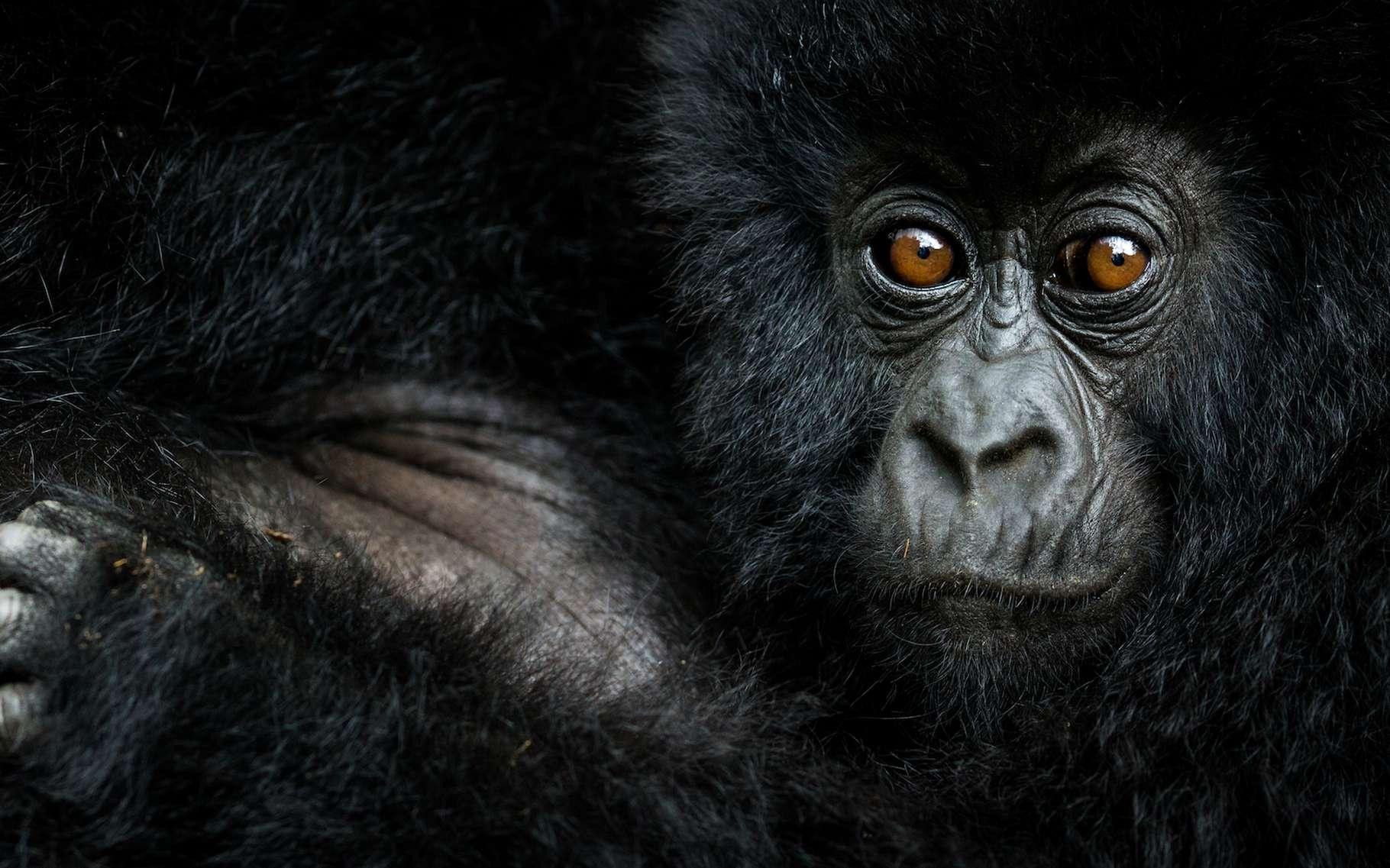Le gorille ne faisait pas partie du Big Five des chasseurs de trophées. Notre cousin fait son apparition méritée dans celui des photographes. © Nelis Wolmarans, New Big 5 project