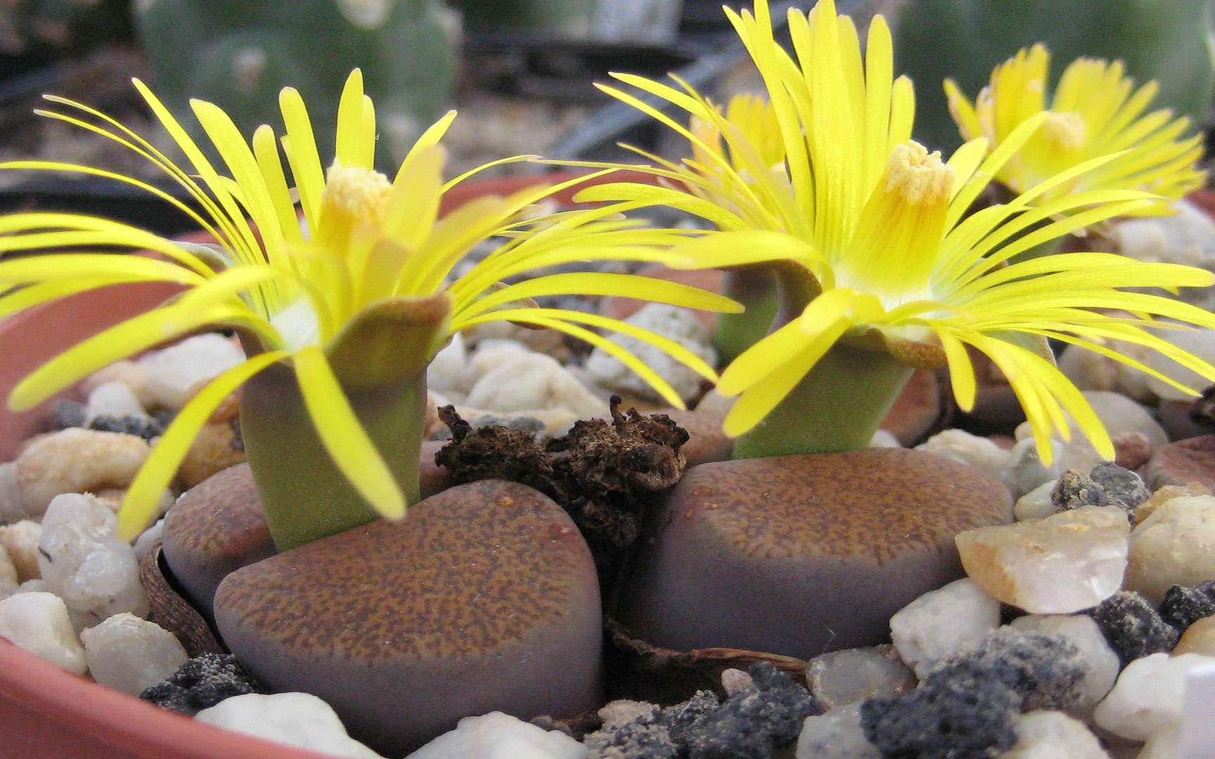 Lithops lesliei ssp.. Lithops lesliei ssp. lesliei v. mariae Cole-Nr. 141 in Kultur. © Michael Wolf, CC by-sa 3.0