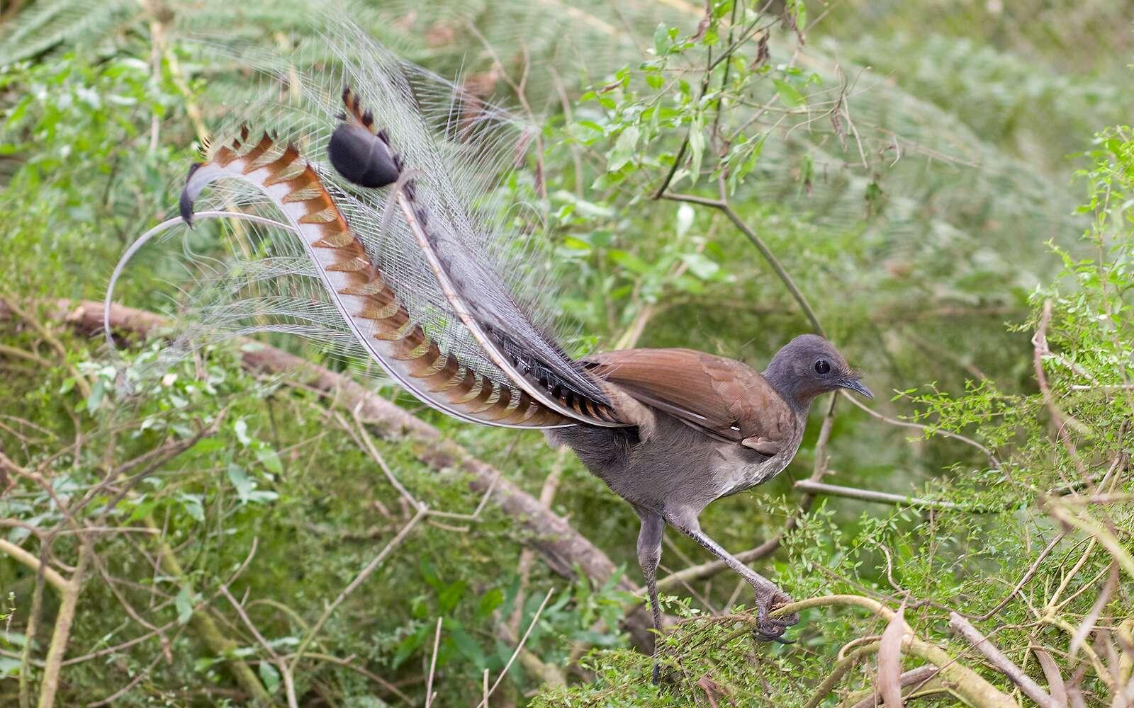 Il existe deux espèces d'oiseaux-lyres : le ménure d'Albert et le ménure superbe. © Fir0002, Wikimedia Commons
