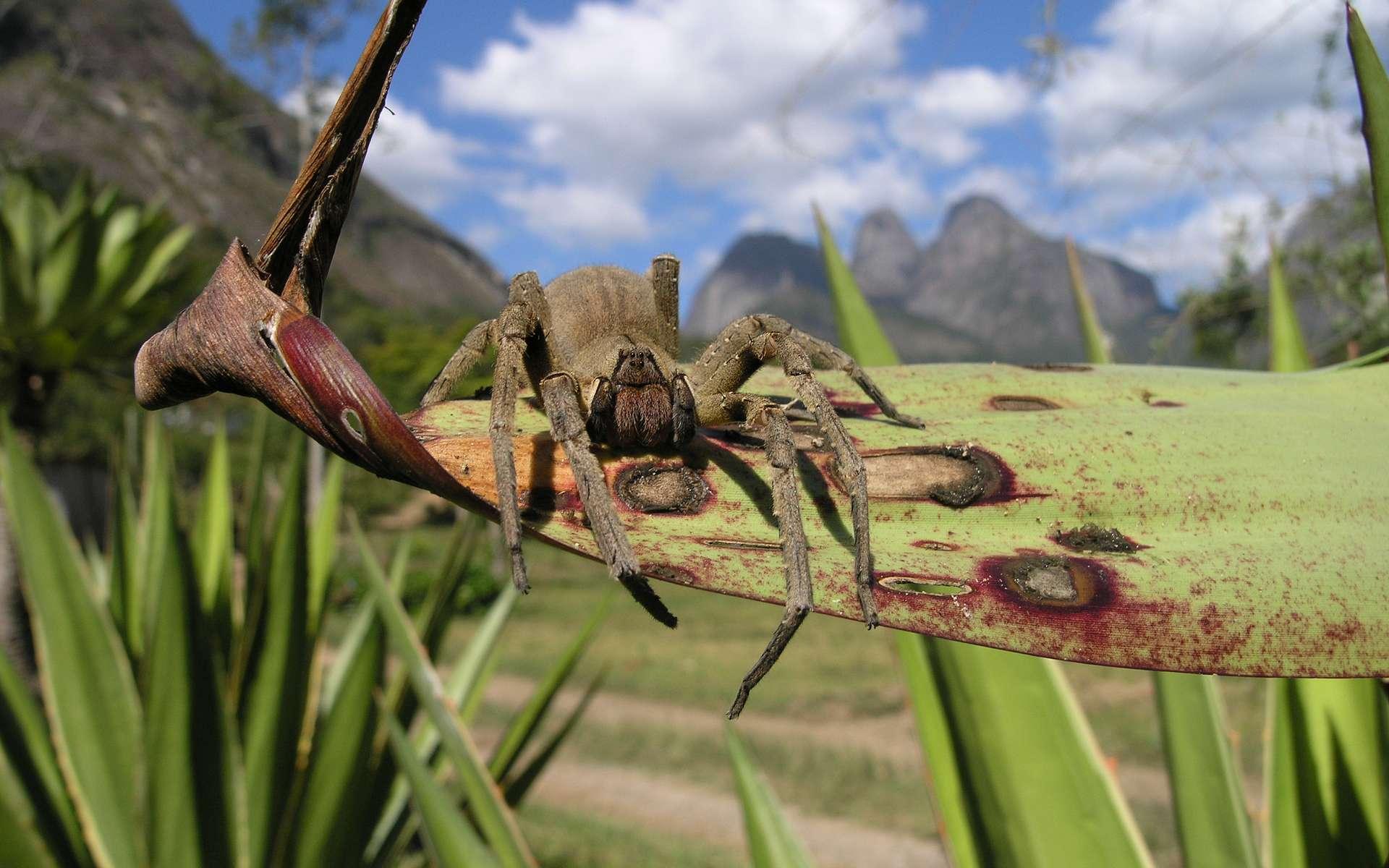 Phoneutria nigriventer, ou araignée-banane, possède un venin très puissant qui provoque des érections. © jgury, Flickr