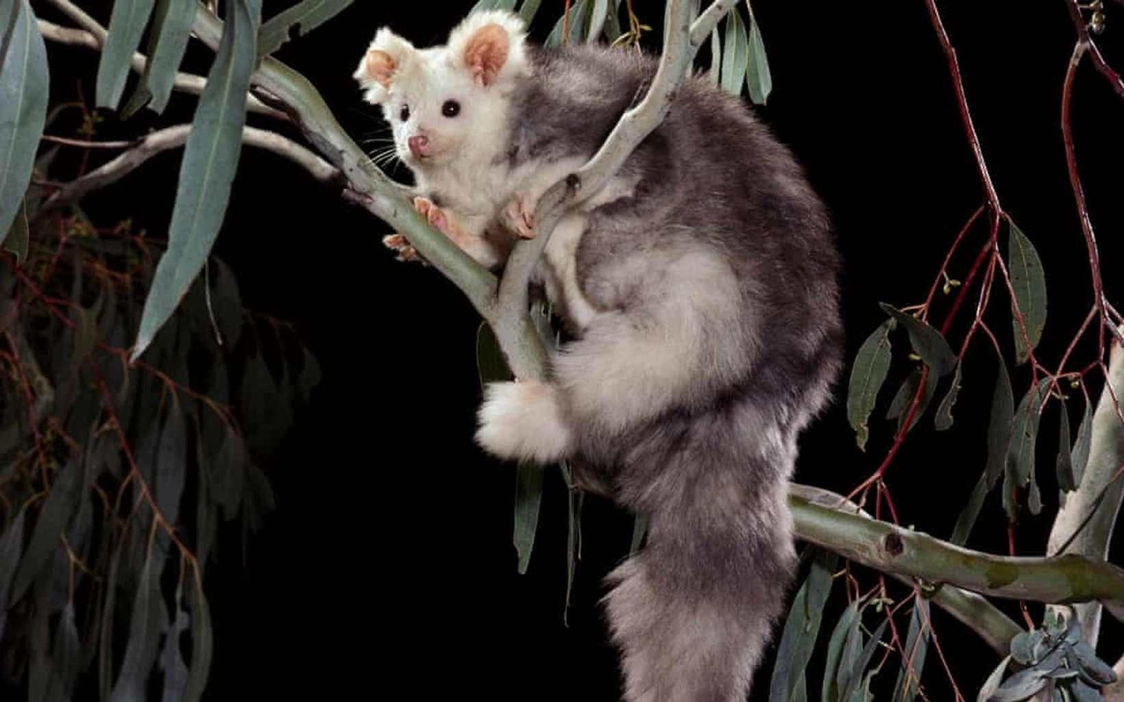Le grand phalanger volant vit des les forêt d'eucalyptus de la Cordillère australienne. © Alamy Stock Photo