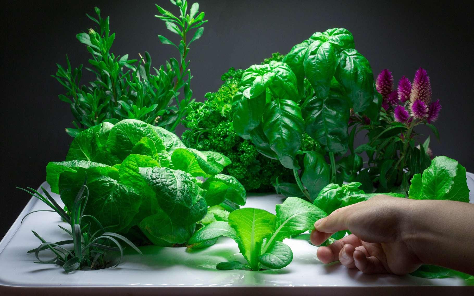 Nourrir un équipage humain lors d'un long séjour dans l'espace impose de mettre au point des pratiques nouvelles, comme la culture de végétaux. © Vegidair