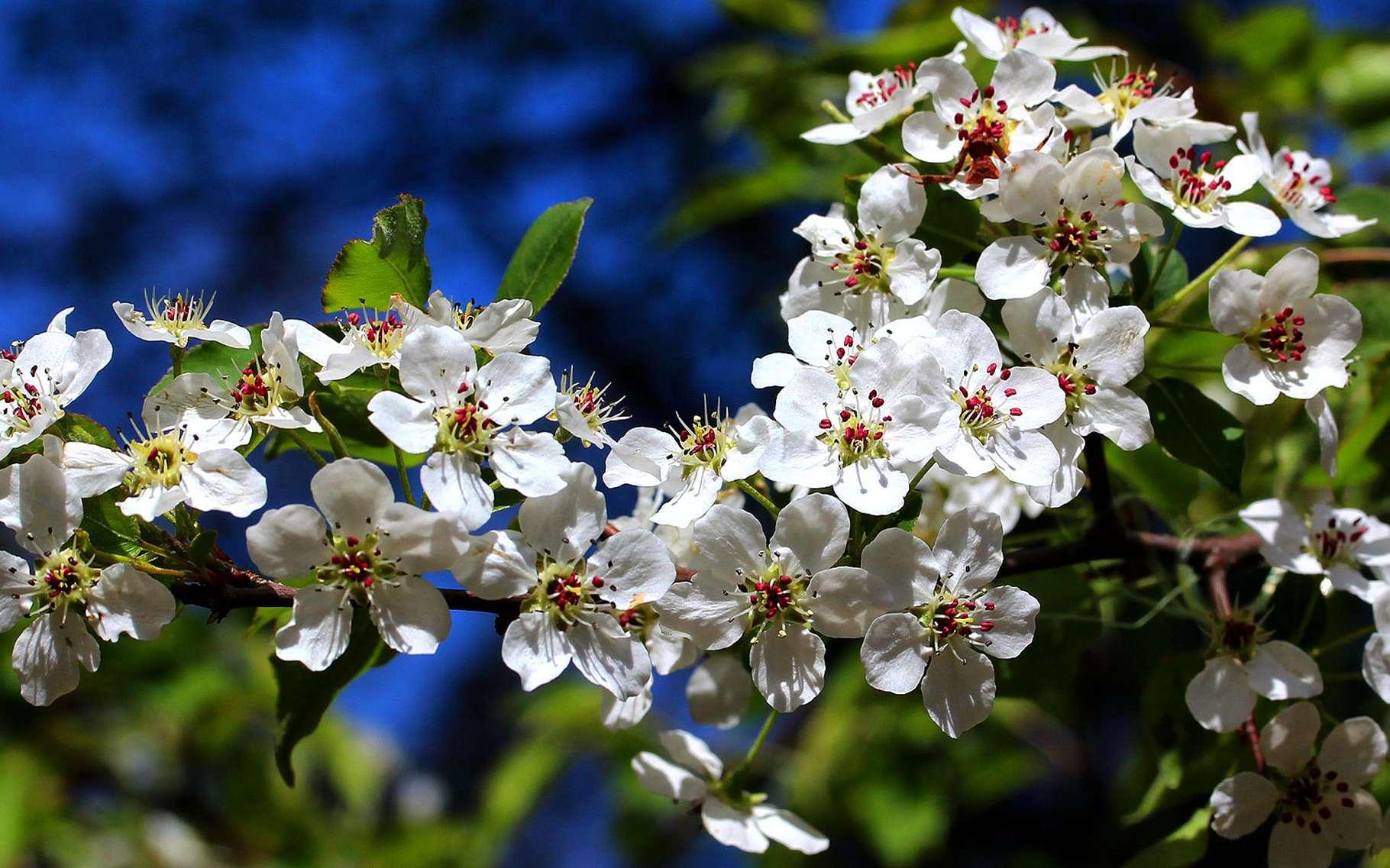 Le poirier à fleurs fait partie de la famille des rosacées. © Photozou, DR