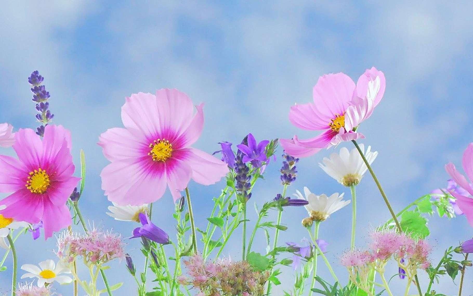 Cosmos et lavandin, les premières fleurs du printemps. © DreamyArt, Pixabay, DP