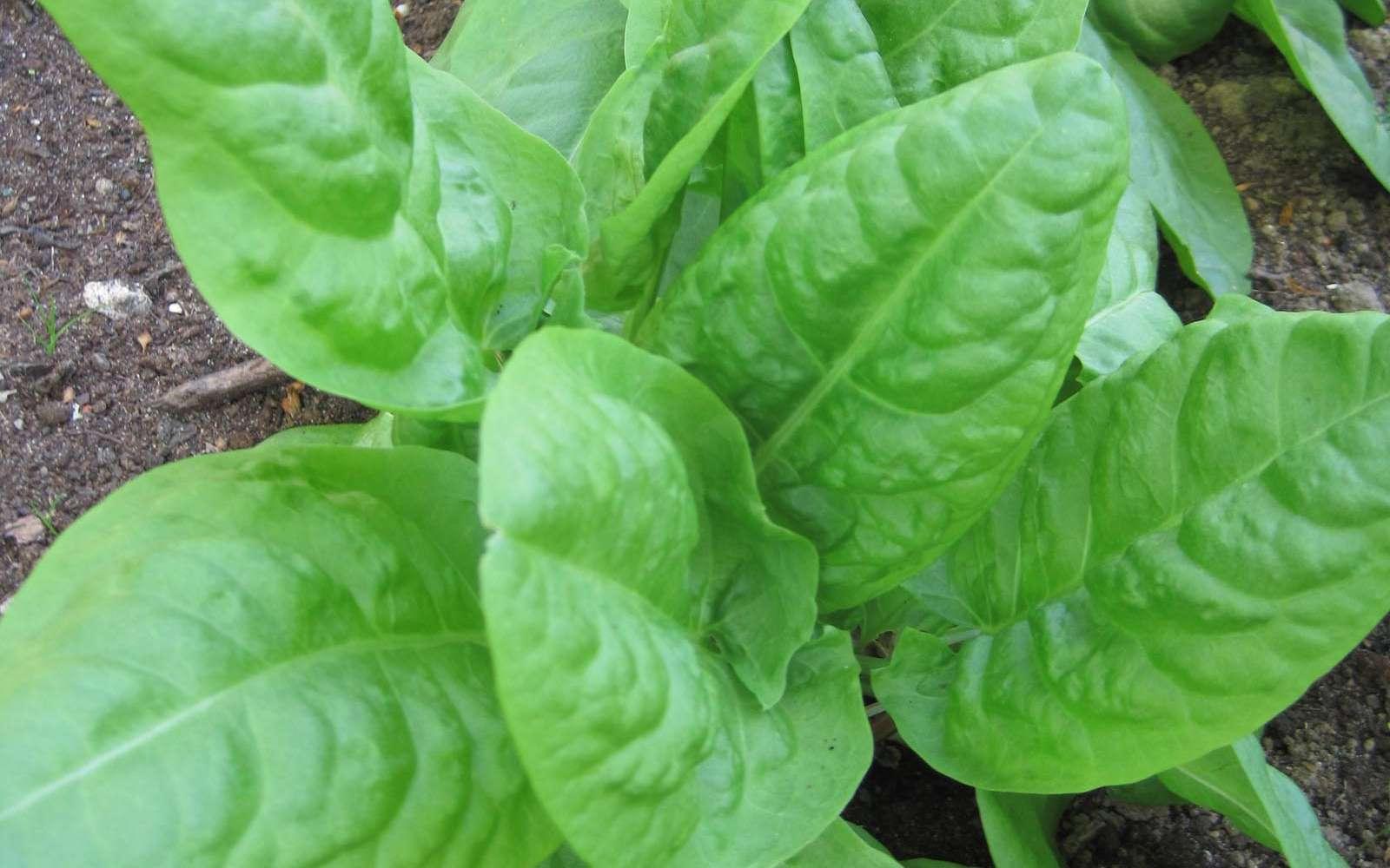 L'oseille, Rumex en latin, se récolte de mai à octobre. © S. Chaillot