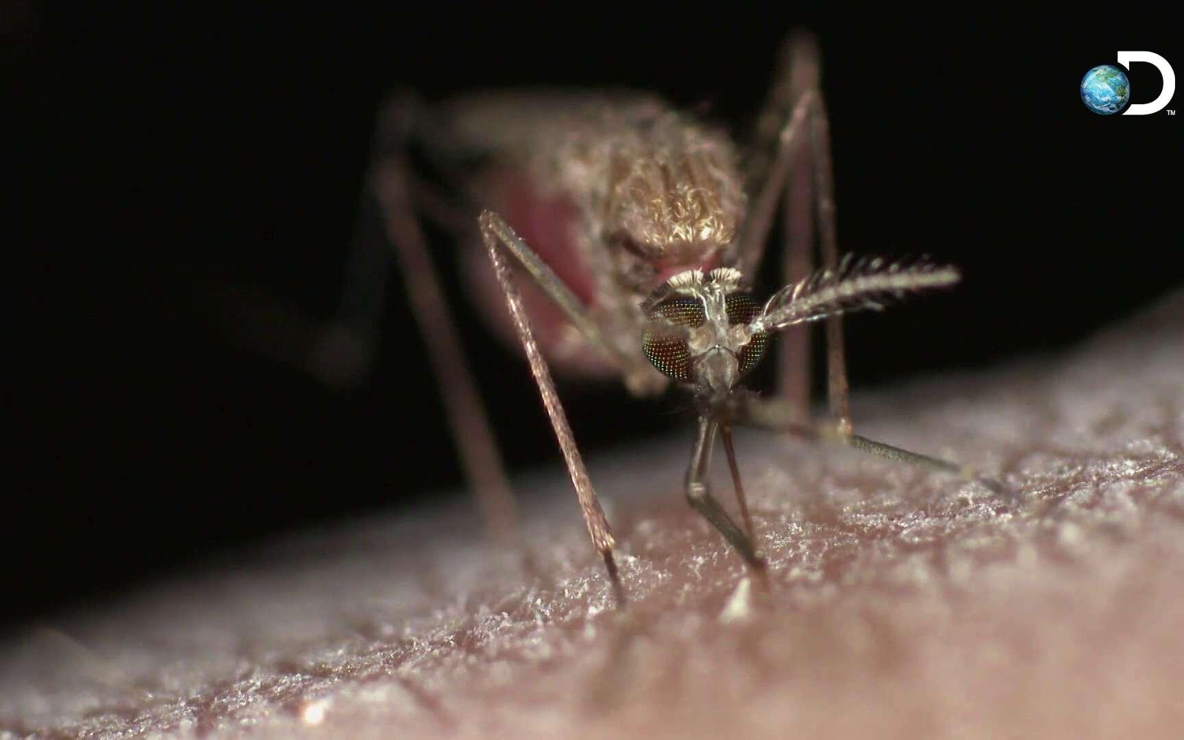 Un moustique transperce la peau en gros plan.