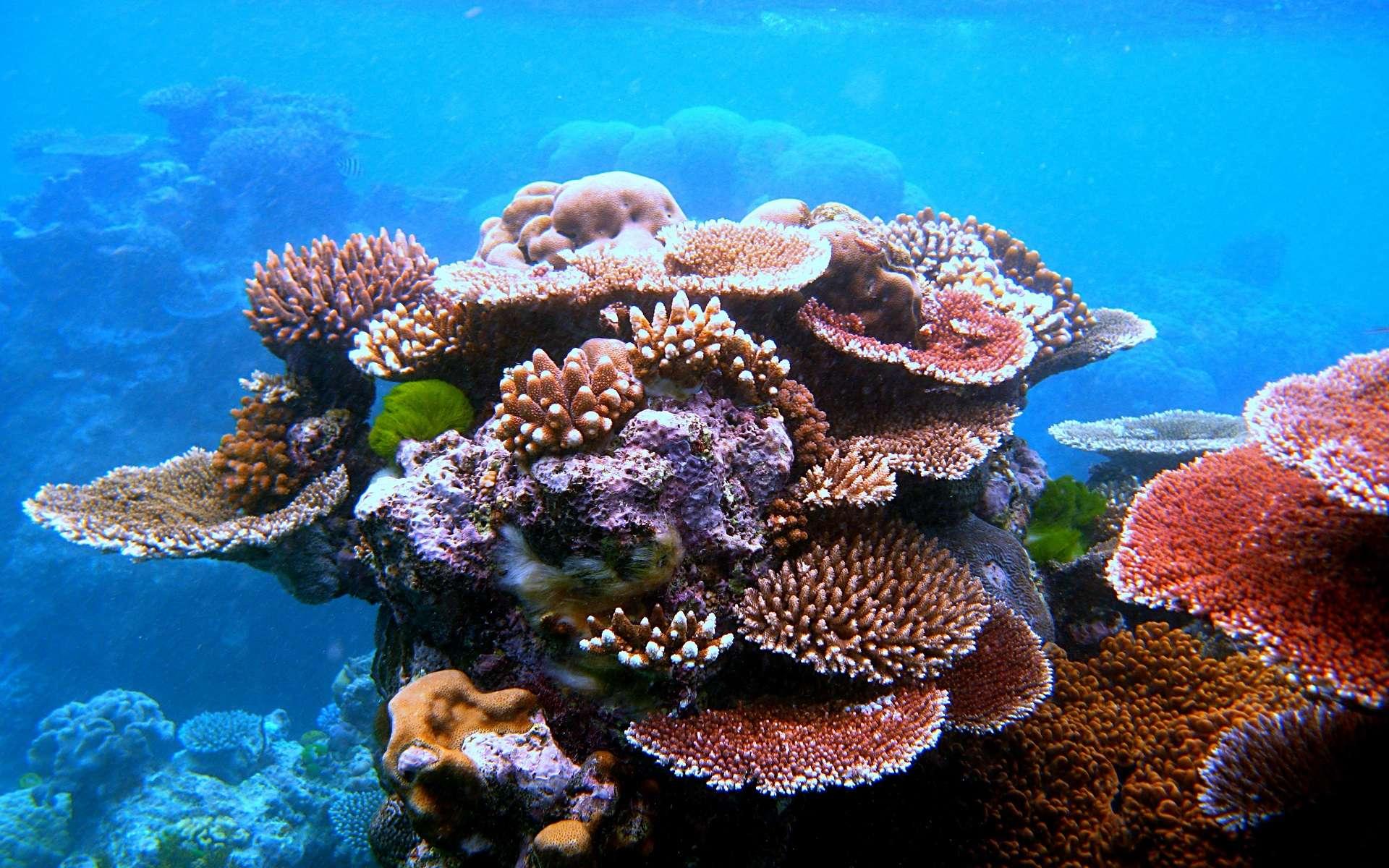 Le corail vit en colonie, fixé sur un support. © Toby Hudson, Wikipedia, CC by-sa 3.0