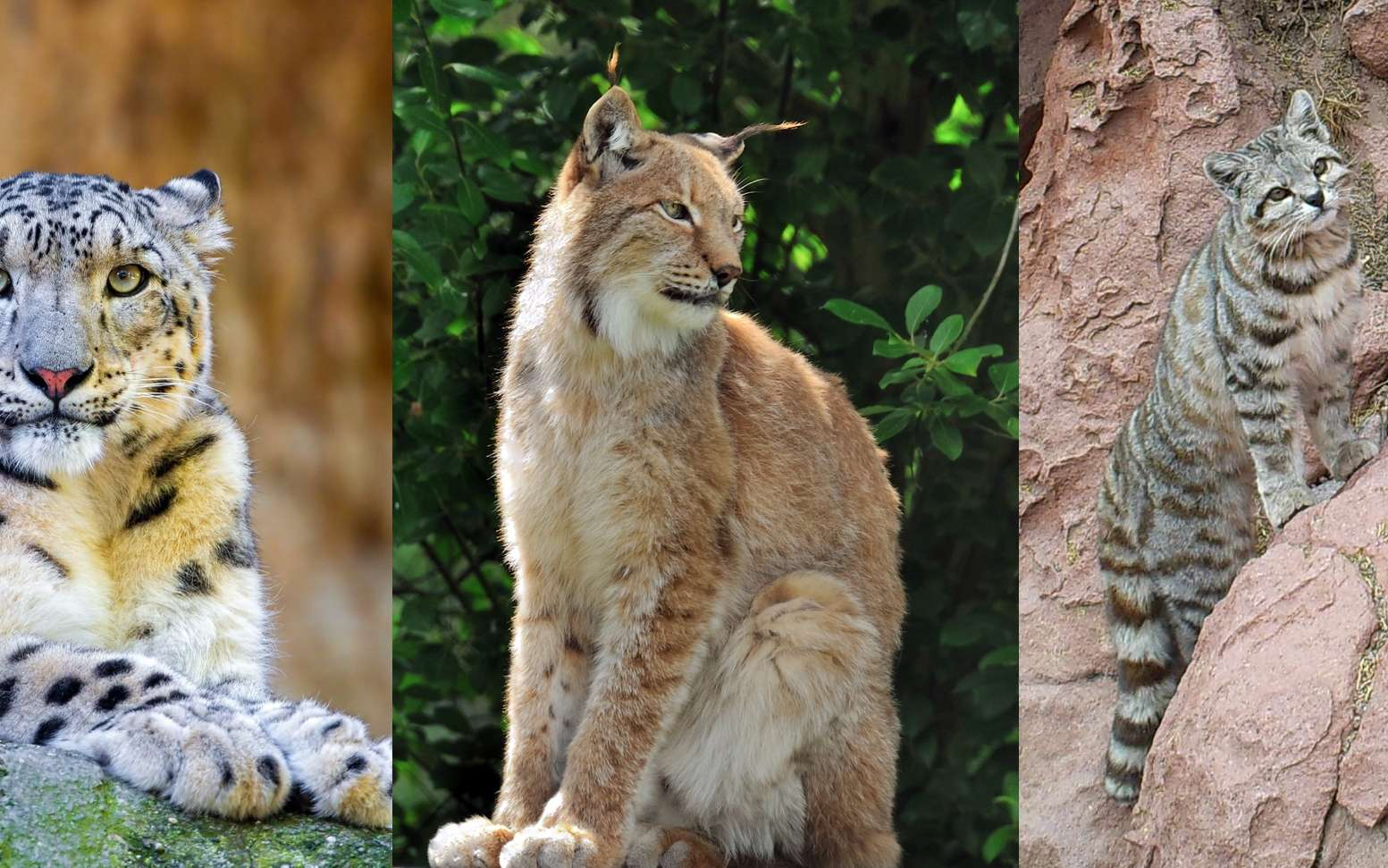 10 espèces de félins menacées d'extinction. © Tambako the Jaguar, Steve Slater, Andean Cat Alliance