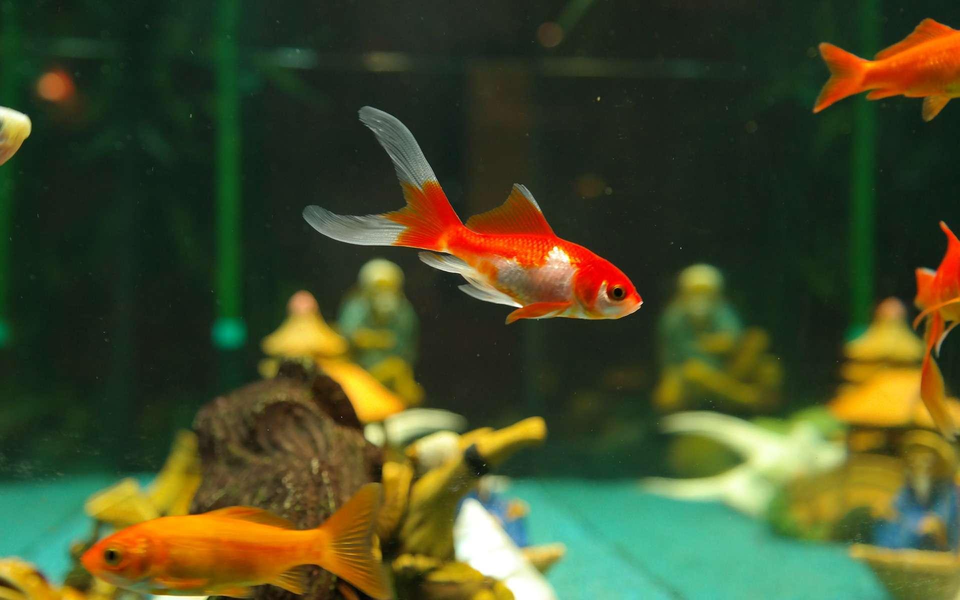 L'eau est vitale pour les poissons. Il faut absolument en prendre soin : son pH doit être de 7,5 et le taux de nitrites à zéro. © Pixabay