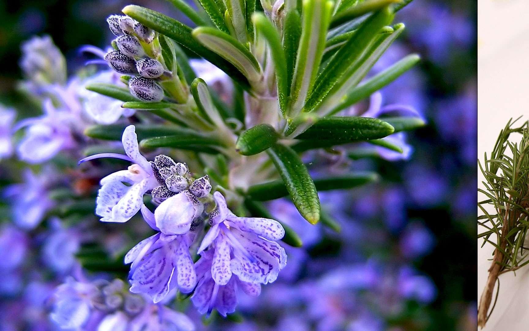 Le romarin officinal, reconnaissable à ses fleurs bleutées, est un arbrisseau de la famille des Lamiacées. Il pousse à l'état sauvage sur le pourtour méditerranéen, dans les garrigues arides et rocailleuses. La plante s'utilise de préférence fraîche mais les fleurs séchées parfument agréablement un plat ou un dessert. Il sert également à aromatiser les grillades ou à rehausser les ragoûts, les civets, les soupes ou les sauces. Le romarin est mellifère et contient plusieurs agents actifs antimycosiques, antibactériens et antioxydants. Il est également utilisé en parfumerie depuis le XIVe siècle. © Cyclonebill, CC by-sa 2.0 et Tony Hisgett, CC by 2.0