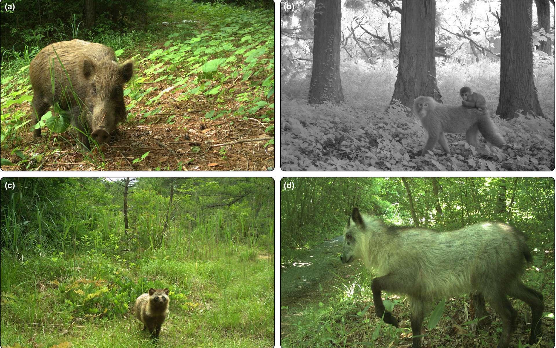 Les images des caméras montrent la présence d'une faune sauvage abondante et diversifiée dans les zones désertées après la catastrophe de Fukushima. © Front Ecol Environ, 2020