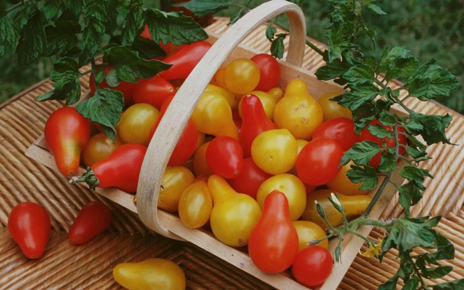 Les récoltes de tomates au potager débutent en juillet et se prolongent jusqu'en octobre. © E.Brencklé, Rustica