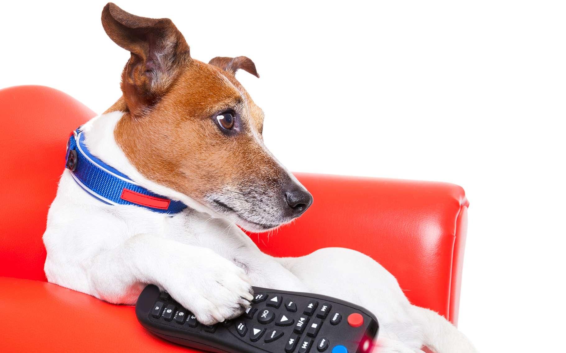 Devant la télé, s'ils savaient manier la télécommande, les chiens seraient des zappeurs invétérés. © Javier Brosch, Shutterstock