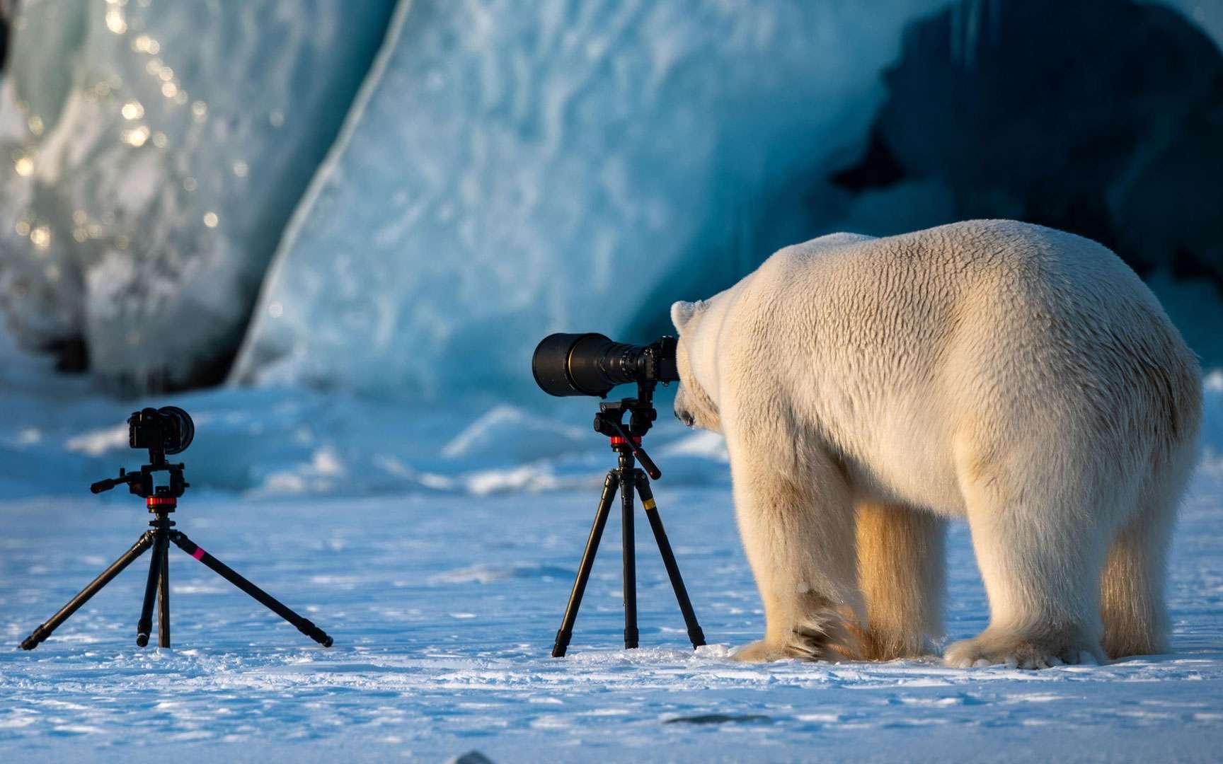 Scène très inattendue que celle d'un ours photographe. La perte de la banquise causée par le réchauffement climatique est la plus importante menace pesant sur l'ours polaire. Cet Ursus maritimus en profite pour la photographier et pour garder un souvenir du manteau blanc dont dépend sa survie.© Roie Galitz, The Comedy Wildlife Photography Awards 2018. Tous droits réservés