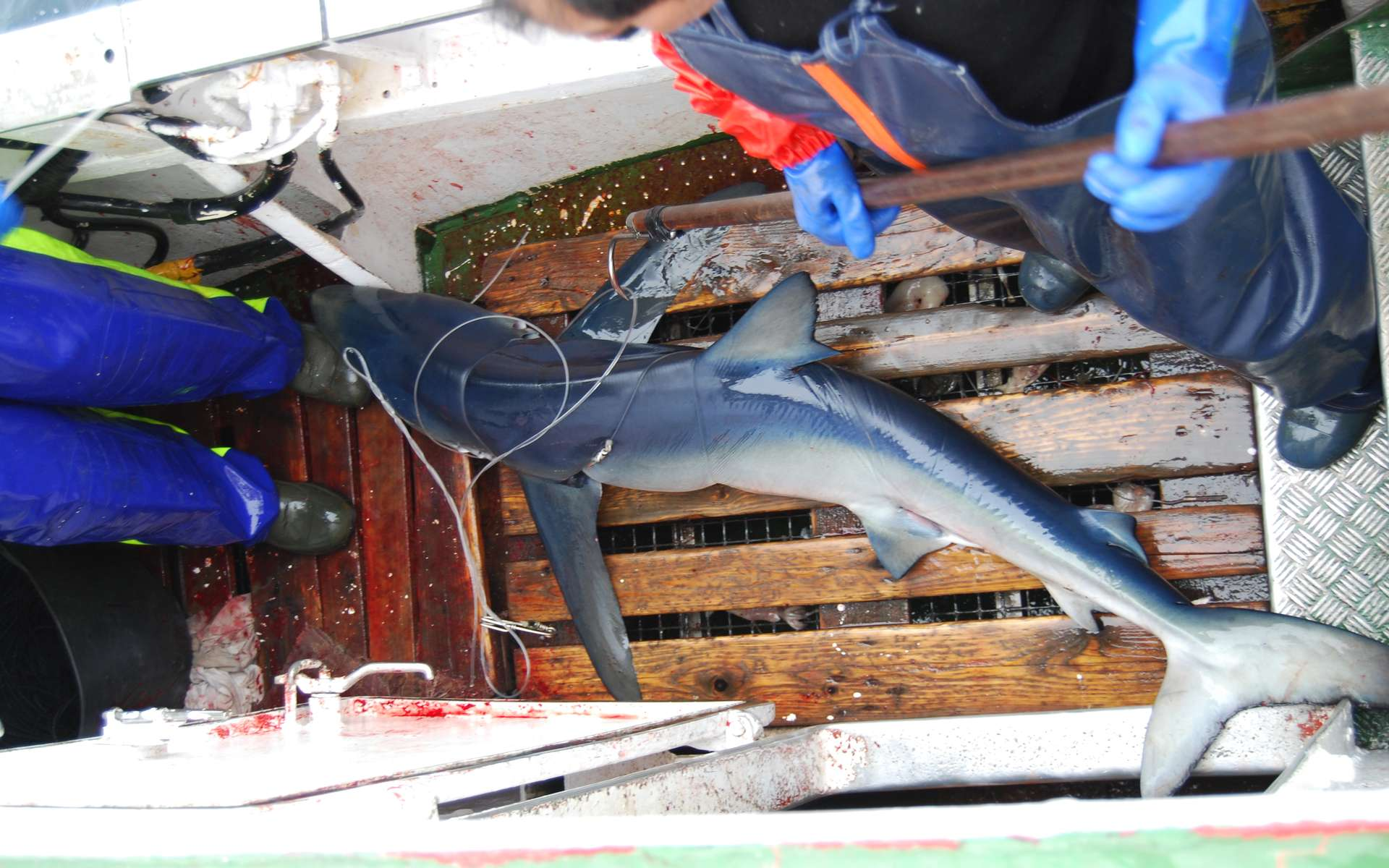 Un requin peau bleue qui vient d'être pêché à la palangre. Là où il y a des aimants, la pêche est meilleure, au grand dam de cette espèce menacée… © Sébastián Biton Porsmoguer