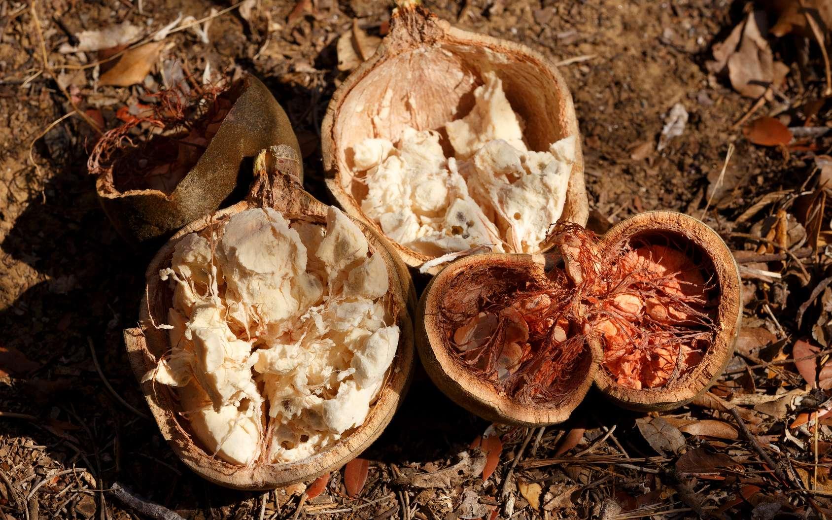 Le pain de singe est l'intérieur du fruit du baobab. Le nom « baobab » dérive de l'arabe bu hibab qui signifie « fruit à nombreuses graines ». © artush, Fotolia