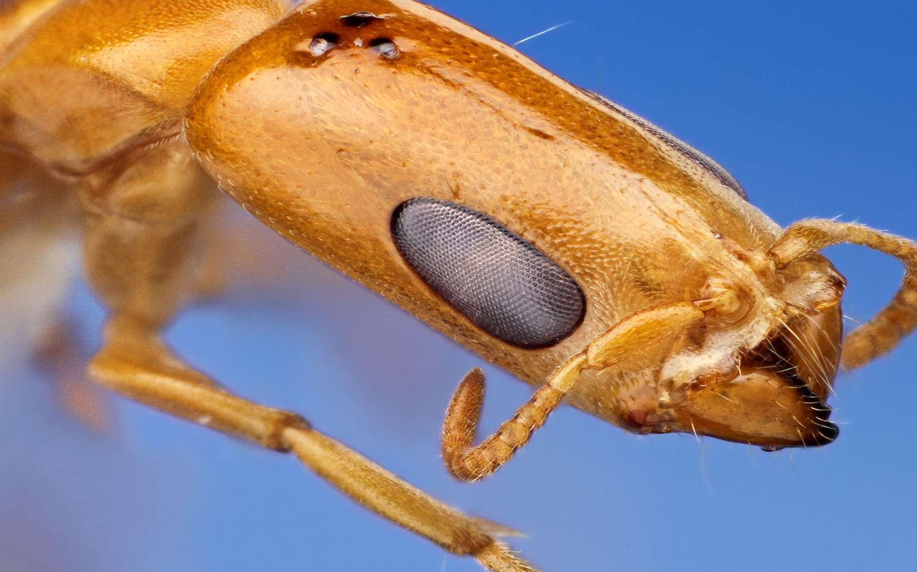 Grosses Fourmis Noires Dans Le Jardin fourmis : accouplement et reproduction, le rôle de la gyne