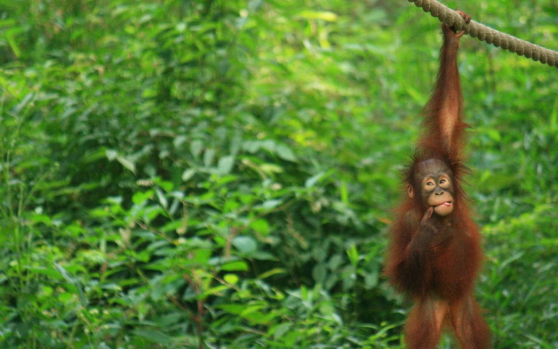 Alors que de nouveaux travaux éclairent leur intelligence, les orangs-outans continuent d'être menacés par la déforestation. © darock, Fotolia