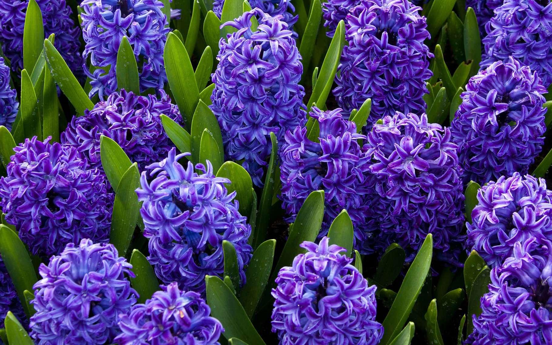 Jacinthes bleues. © PublicDomainPictures, Pixabay, Domaine Public