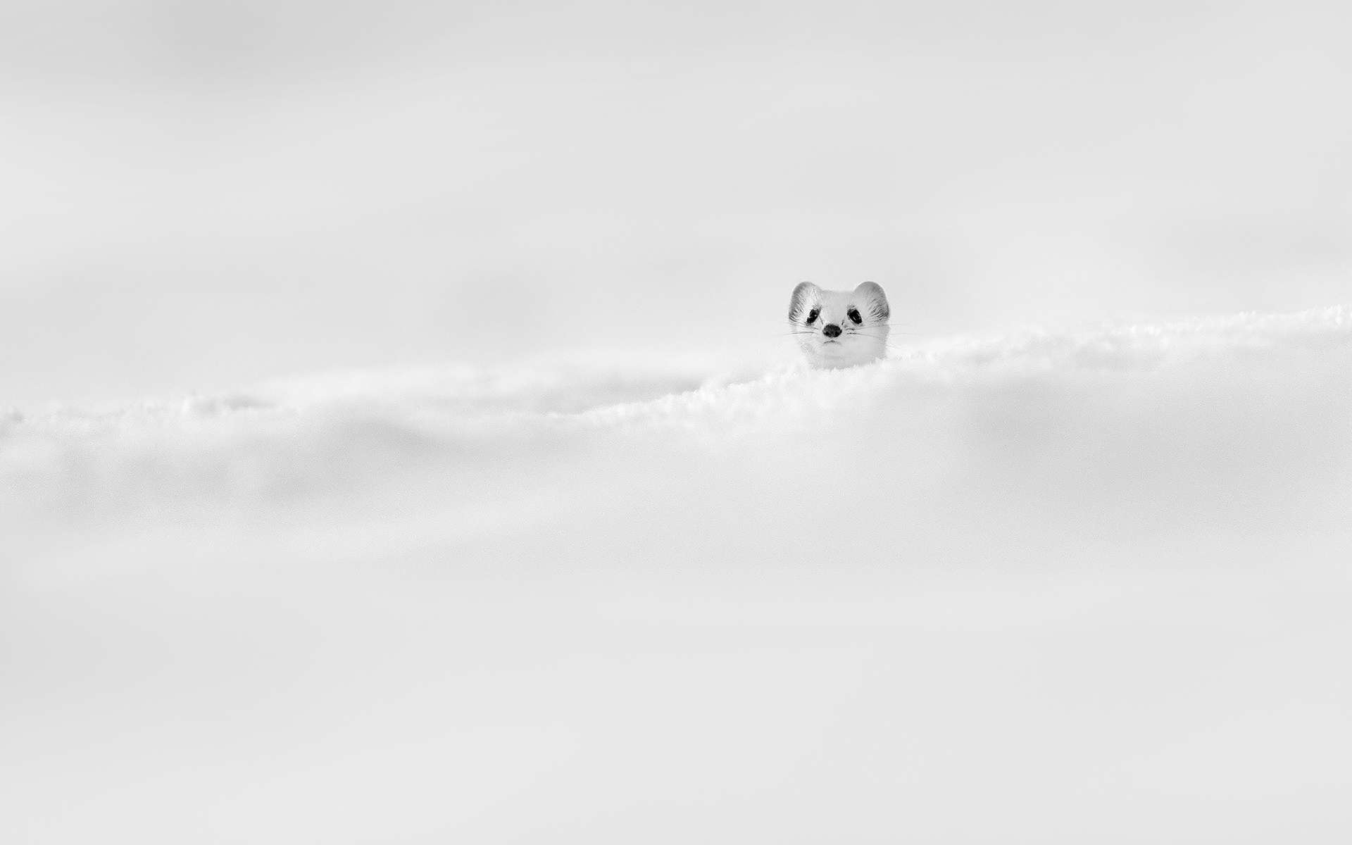 Comme un petit périscope de sous-marin, cette hermine sort discrètement la tête de la neige. Elle attend d'être sûre que tout autour d'elle soit calme et apaisé. À ce moment-là seulement, elle décidera de sortir de couvert pour s'élancer à la recherche d'une proie.Notez que l'hermine vit généralement dans les régions montagneuses. Ici, dans le Jura. Et c'est en hiver uniquement que sa fourrure apparaît blanche, pour lui permettre de se fondre dans la neige. Mais le bout de sa queue, qu'on ne discerne pas ici, reste toujours noir. Peut-être pour tromper les prédateurs. © Gregory Pol, tous droits réservés