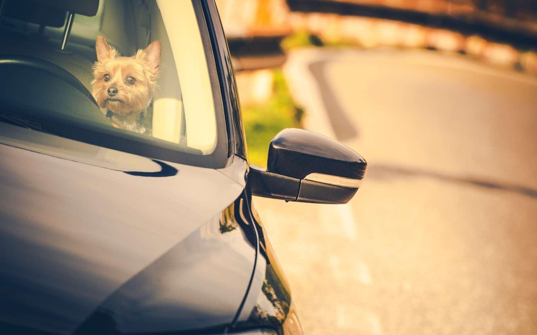 Il est extrêmement dangereux pour la santé de votre animal domestique de le laisser seul dans une voiture en été, même si c'est à l'ombre et avec les vitres entrouvertes. © Tomasz Zajda, Fotolia